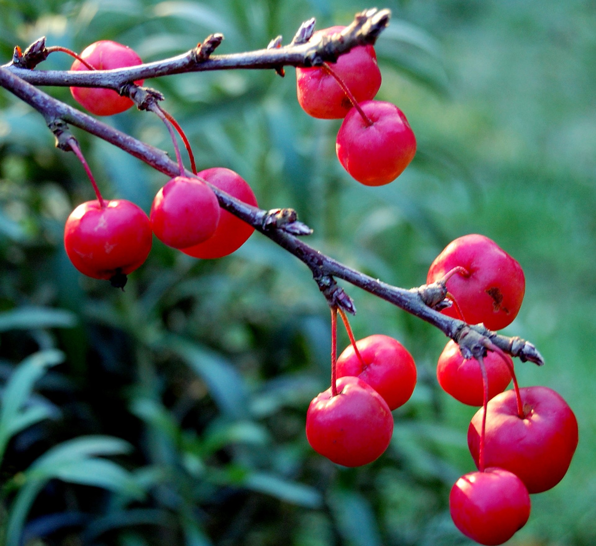 Red crab apples 2020