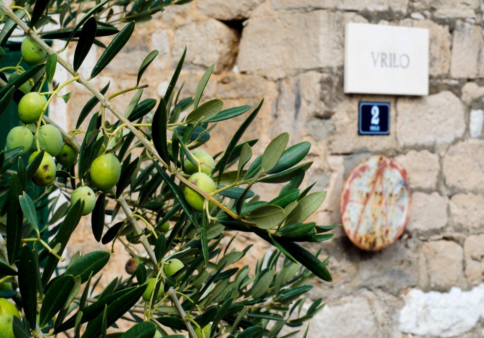 Olive tree in Postira, island of Brač, Croatia 2020
