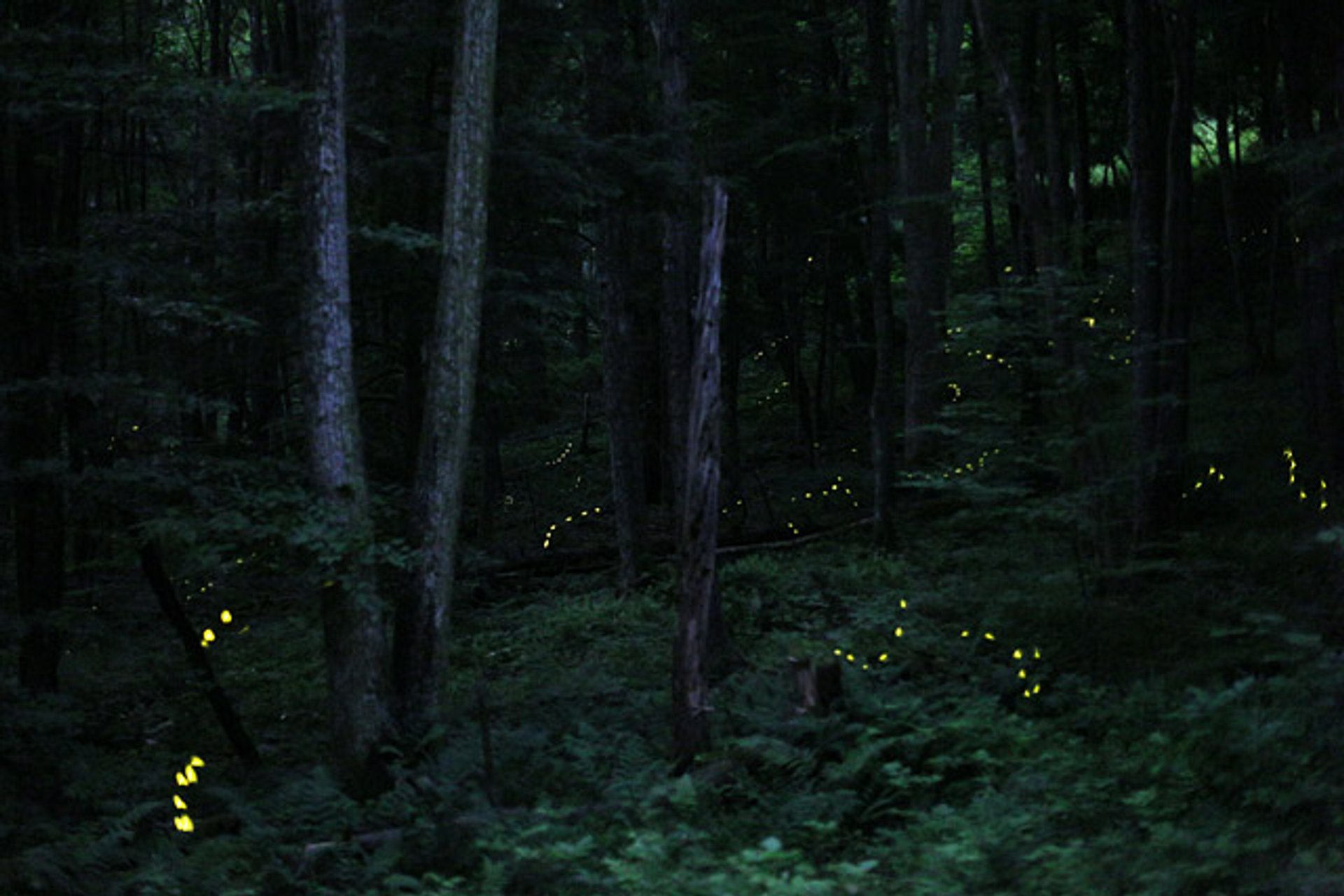 Synchronous Firefly Season in Pennsylvania 2020 - Best Time