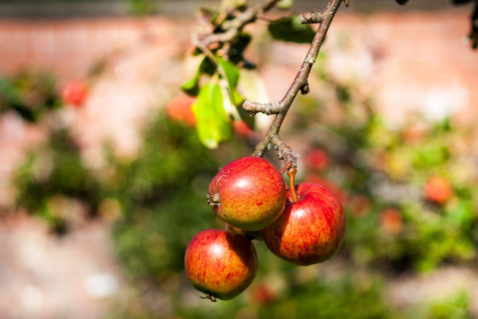Apple Season in Scotland 2019 - Best Time