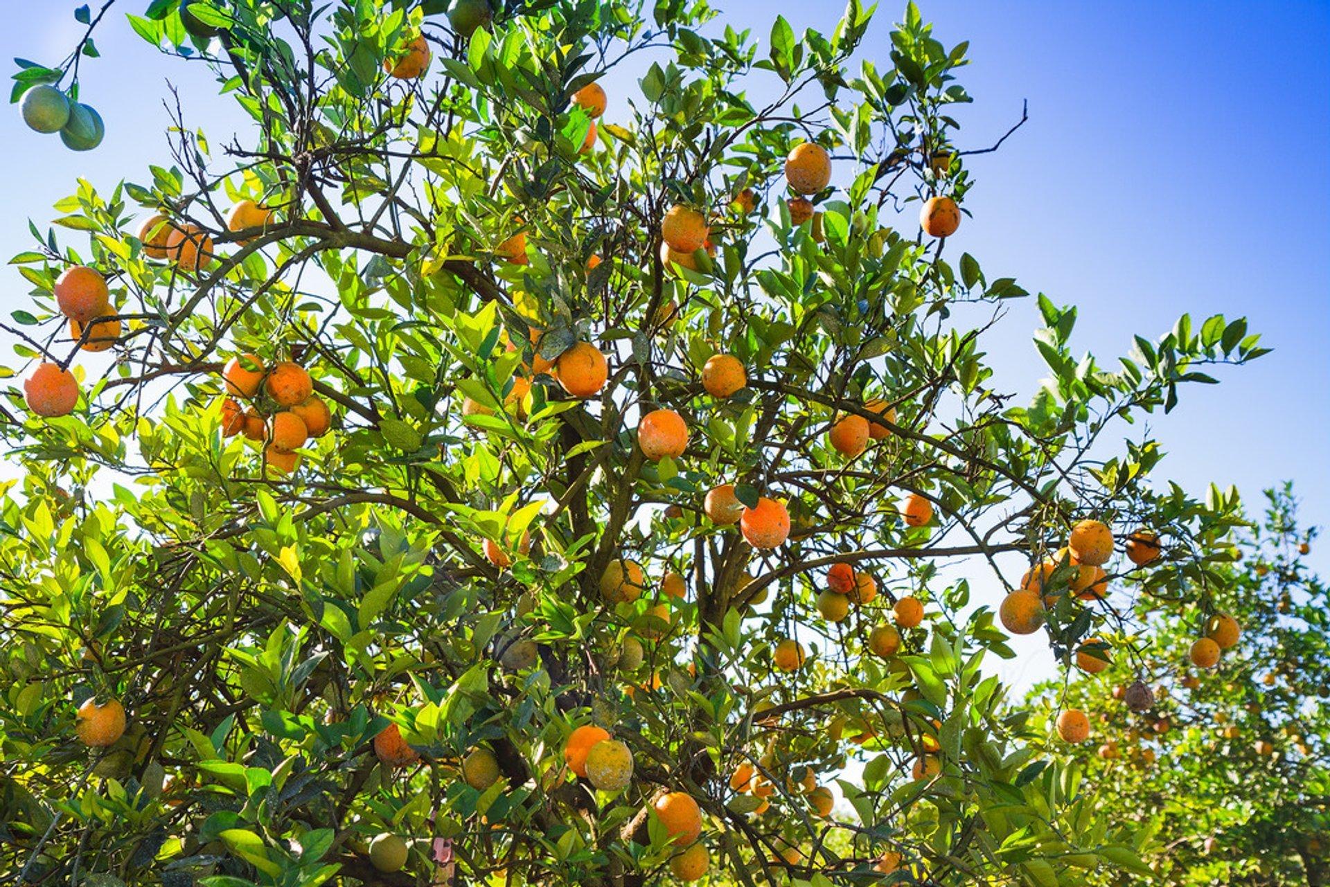 Citrus Season in Florida 2019 - Best Time