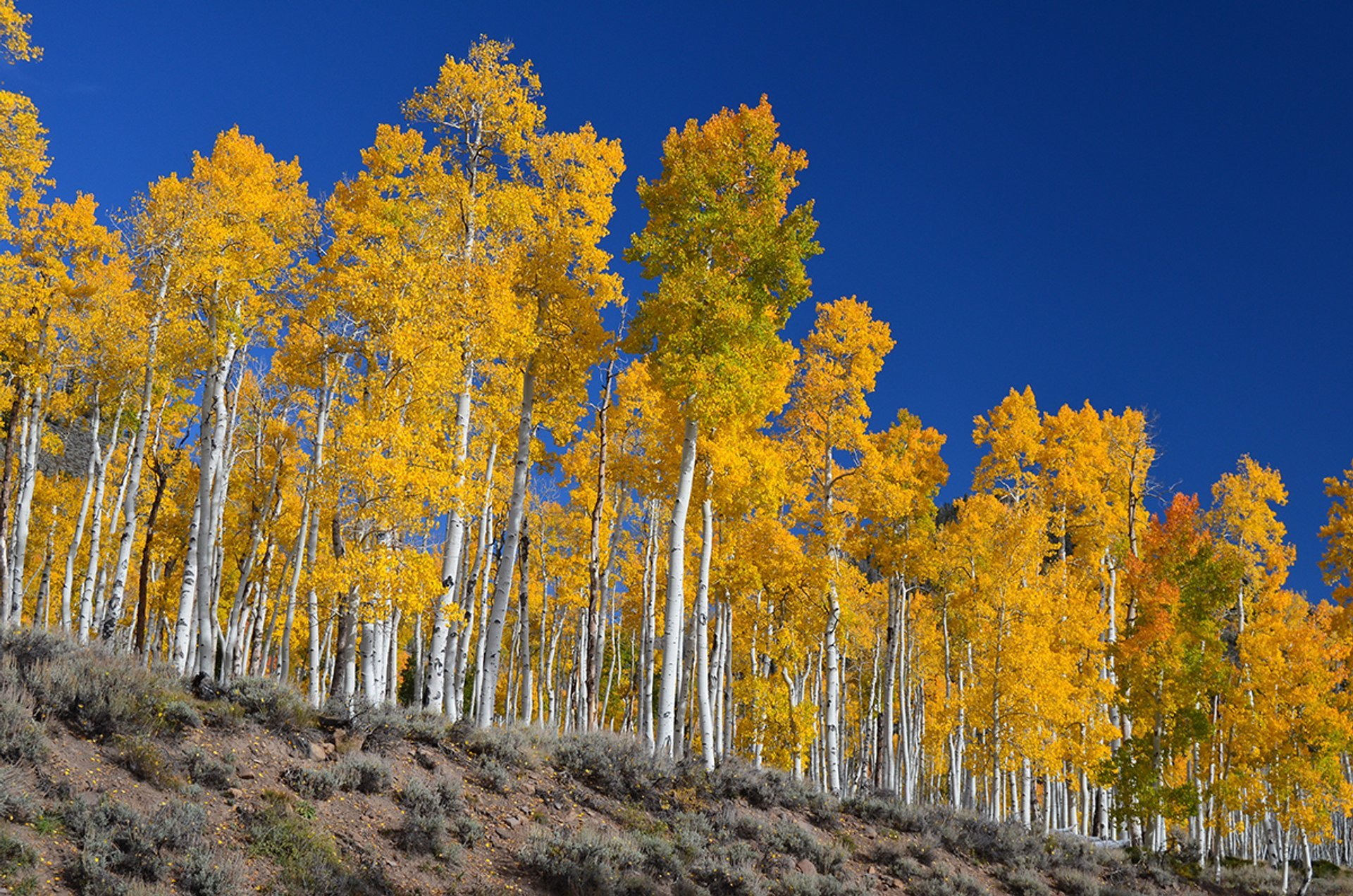 Pando, the Trembling Giant in Utah - Best Season 2019