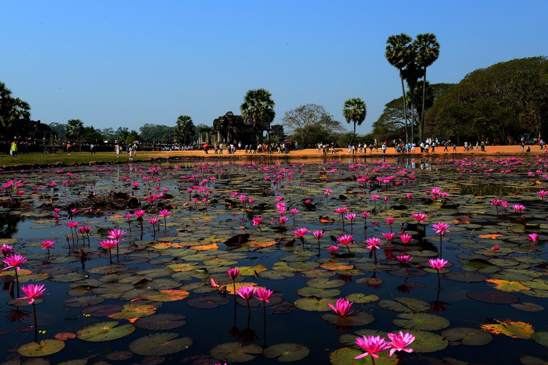 Lotus Blooming in Cambodia - Best Season 2019