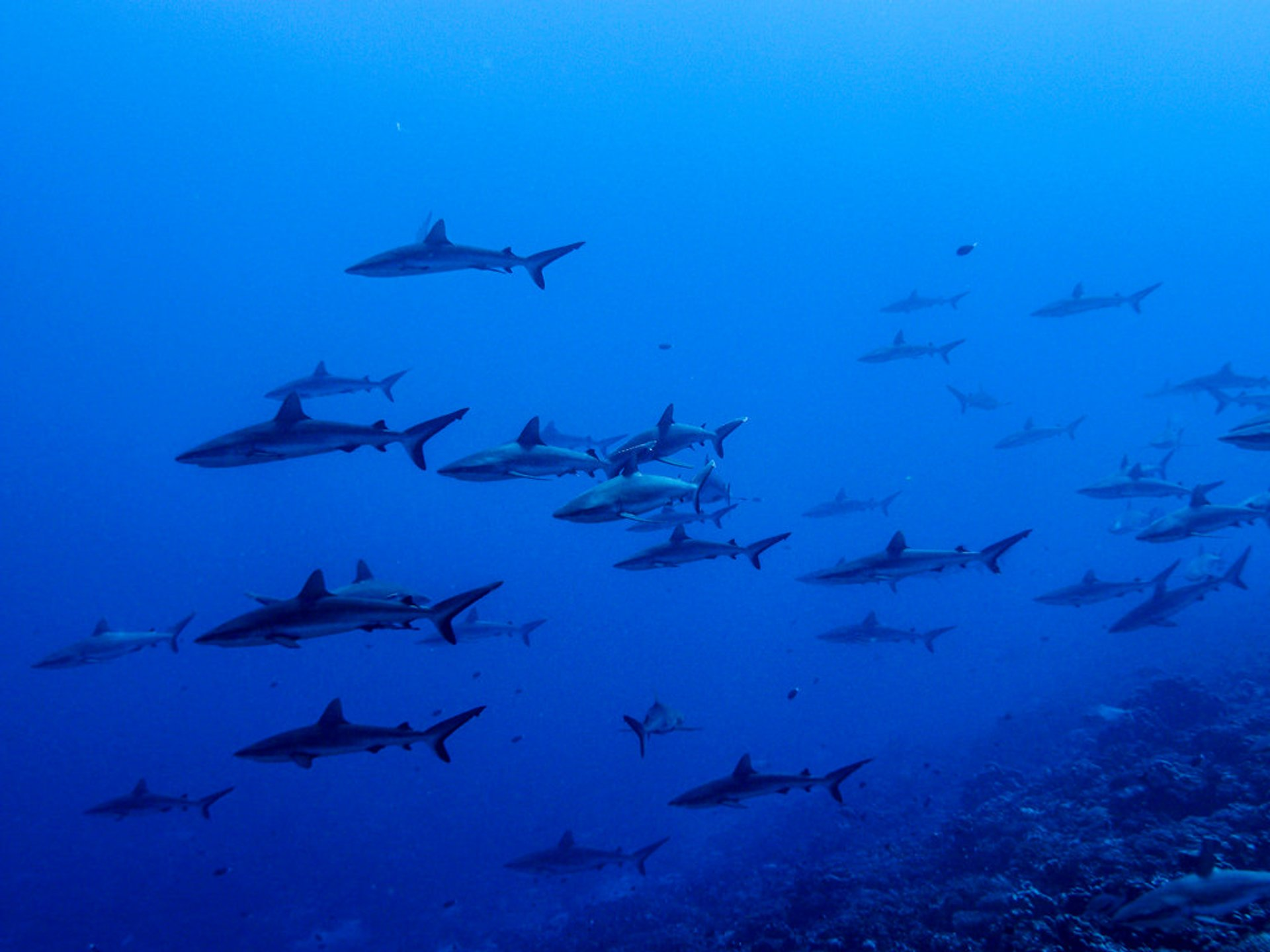 Wall of Sharks in French Polynesia - Best Time