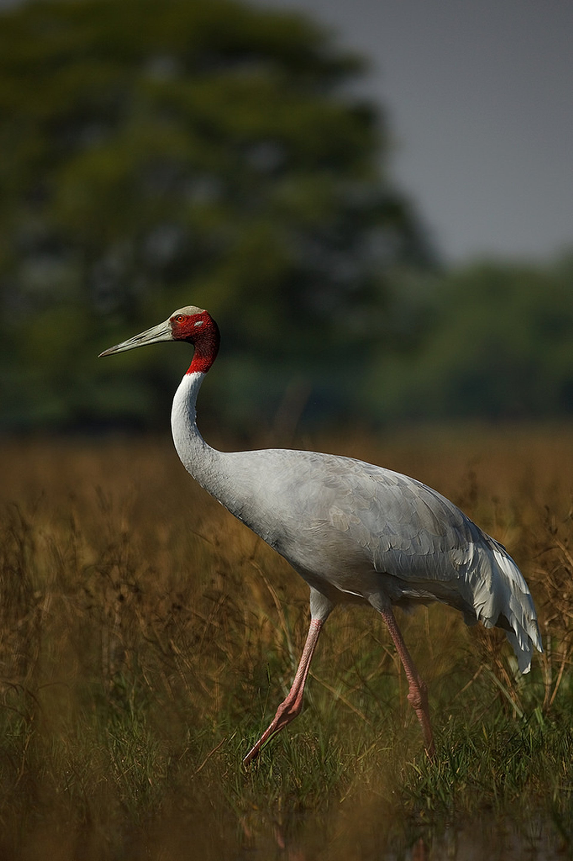 Red-Headed Cranes Watching in Vietnam - Best Season 2020