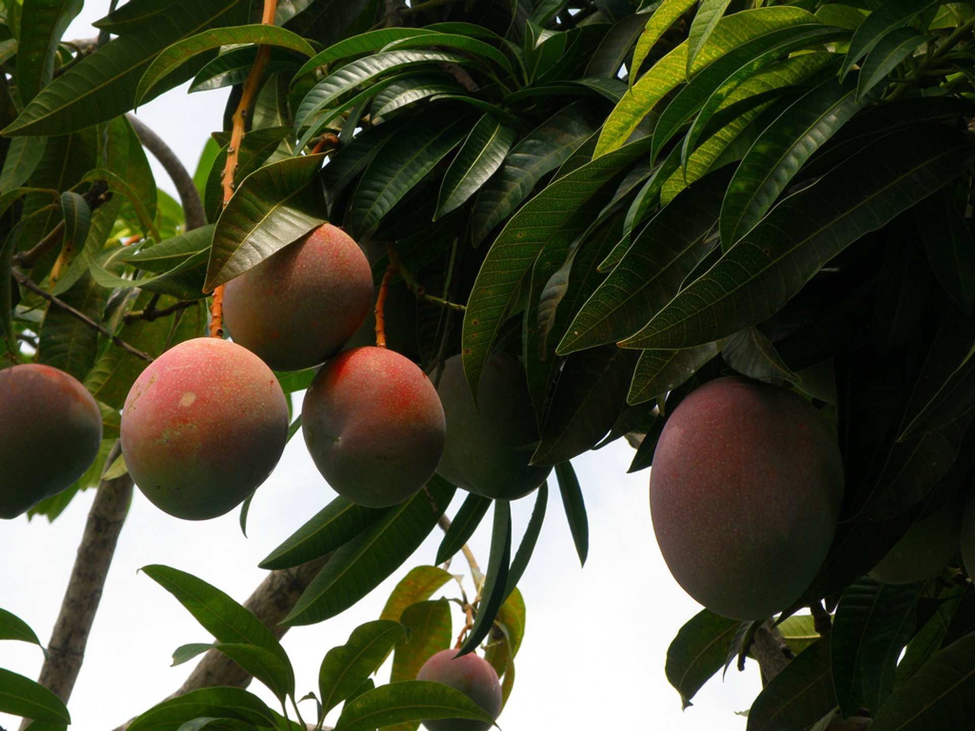 Mango Season in Costa Rica - Best Season 2020