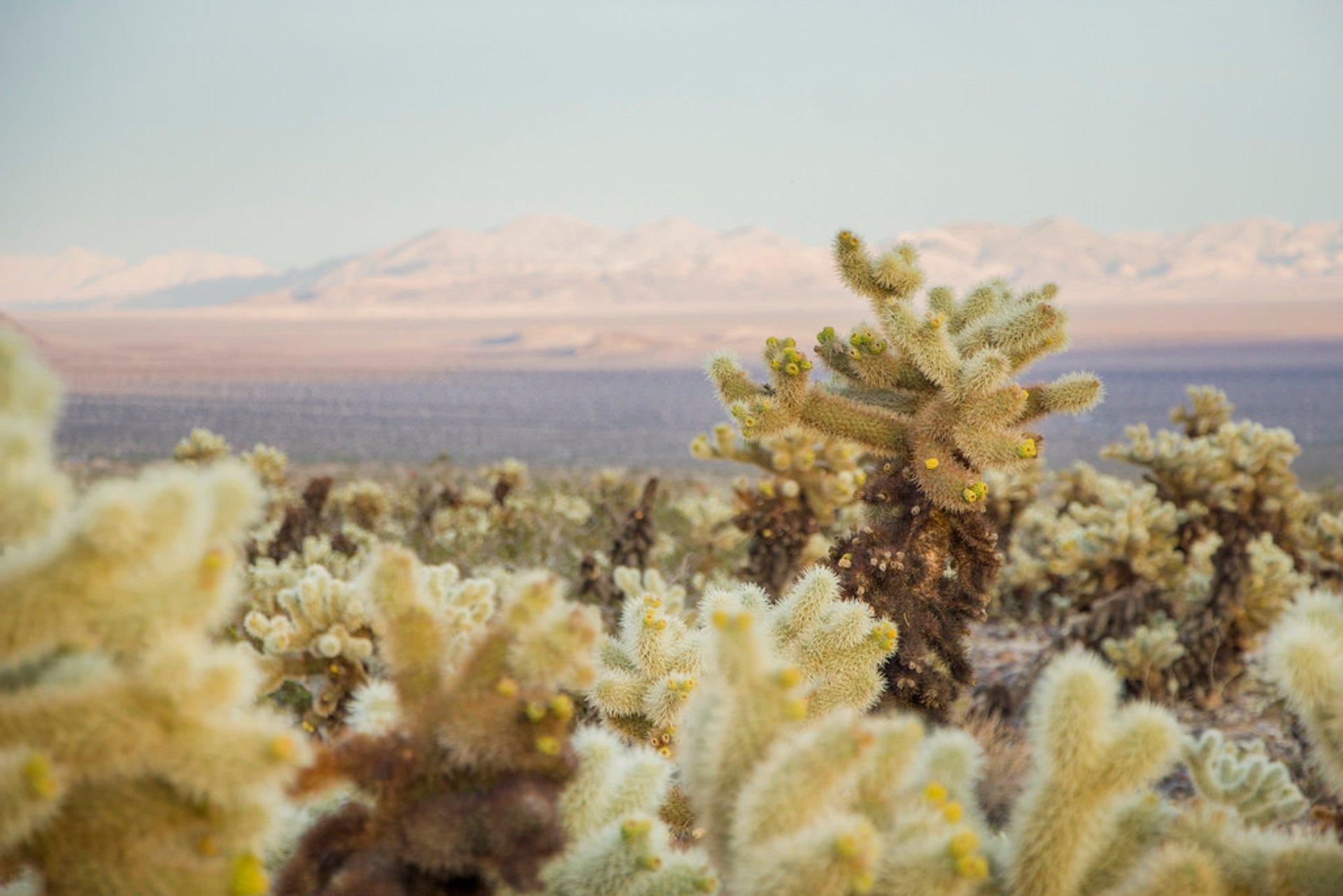 Cactus Blooming in Los Angeles - Best Season 2020