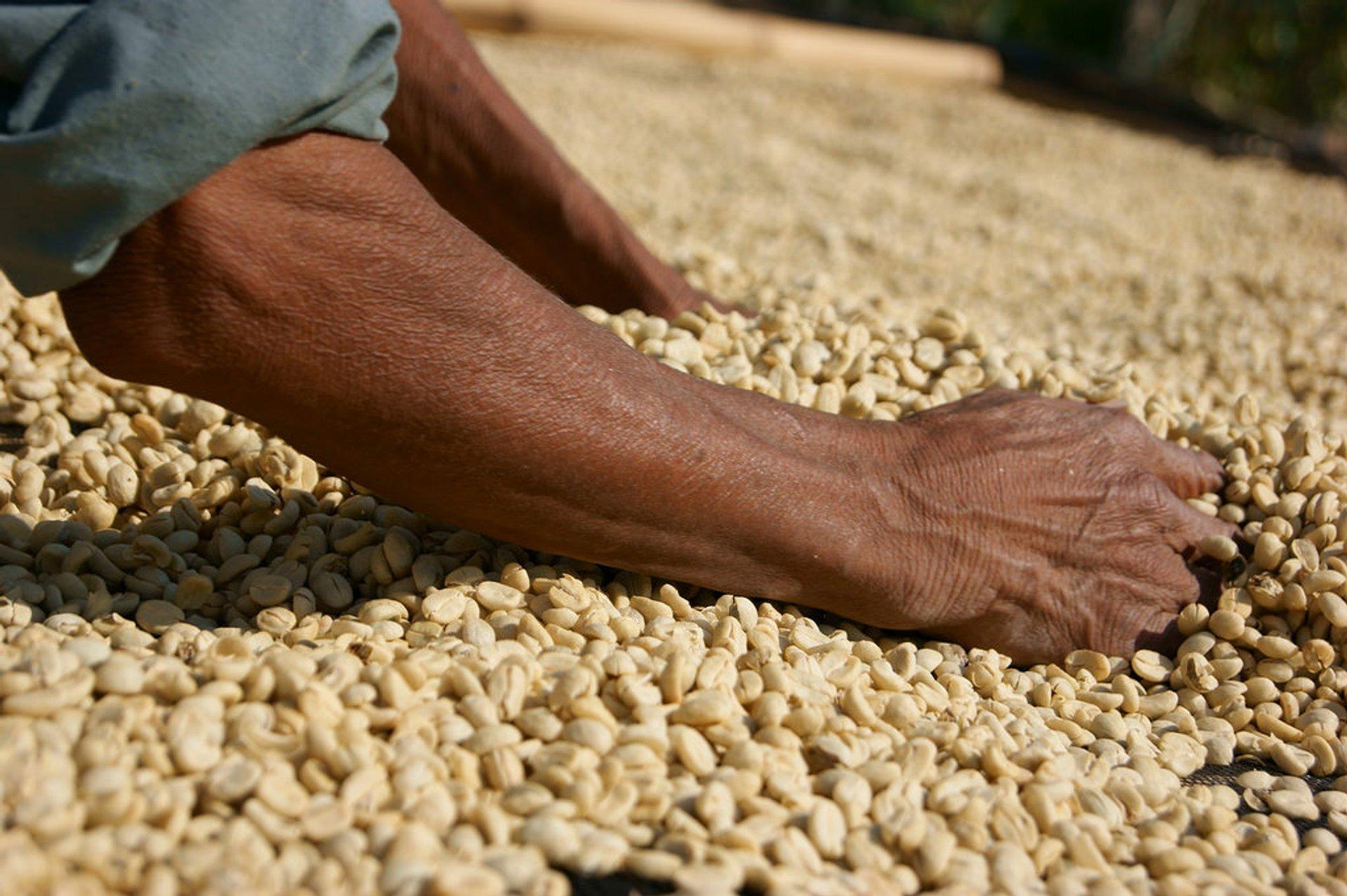 Coffee drying 2020