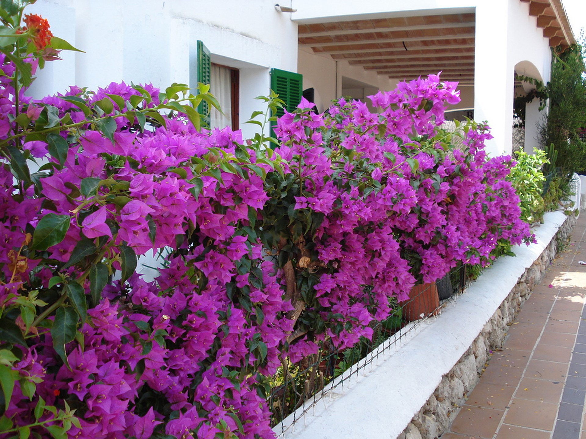Bougainvillea Bloom in Mallorca - Best Season 2020