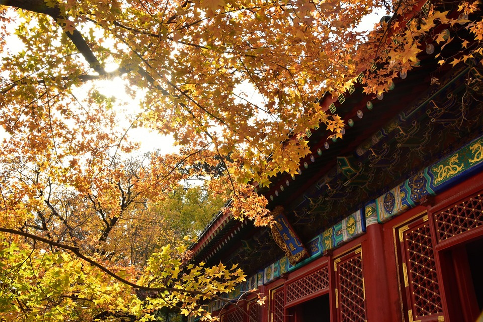 Golden leaves at Fragrant Hill 2020