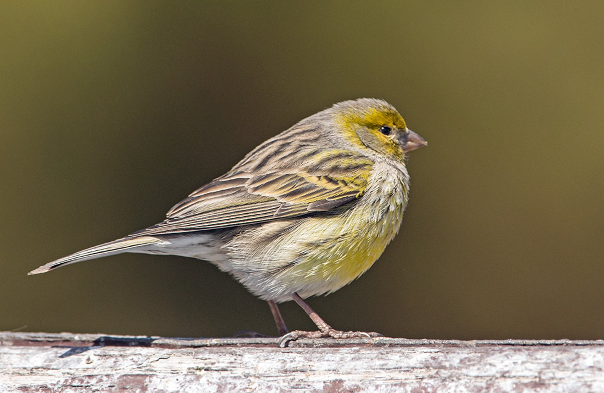 Best time for Atlantic Canary Breeding in Canary Islands 2020