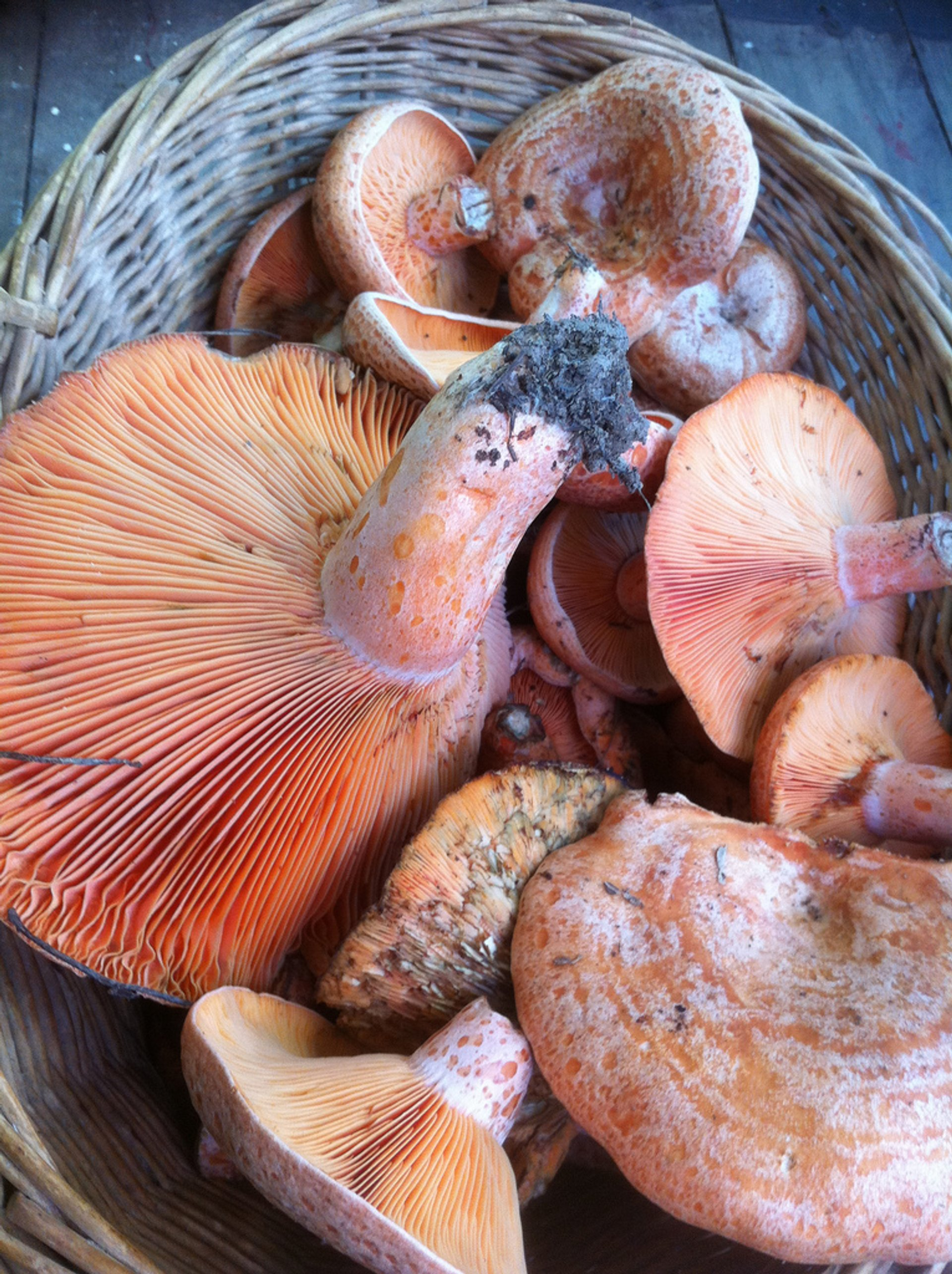 Pine Mushrooms (Saffron Milk Caps) in Australia - Best Season 2019