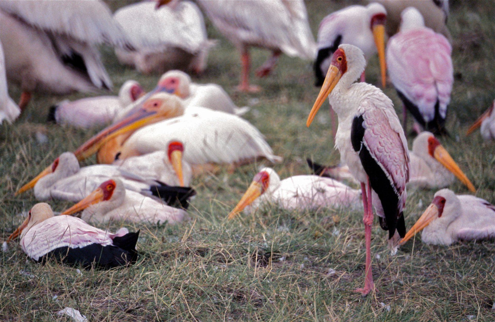 Yellow-billed Storks (Mycteria ibis) 2020