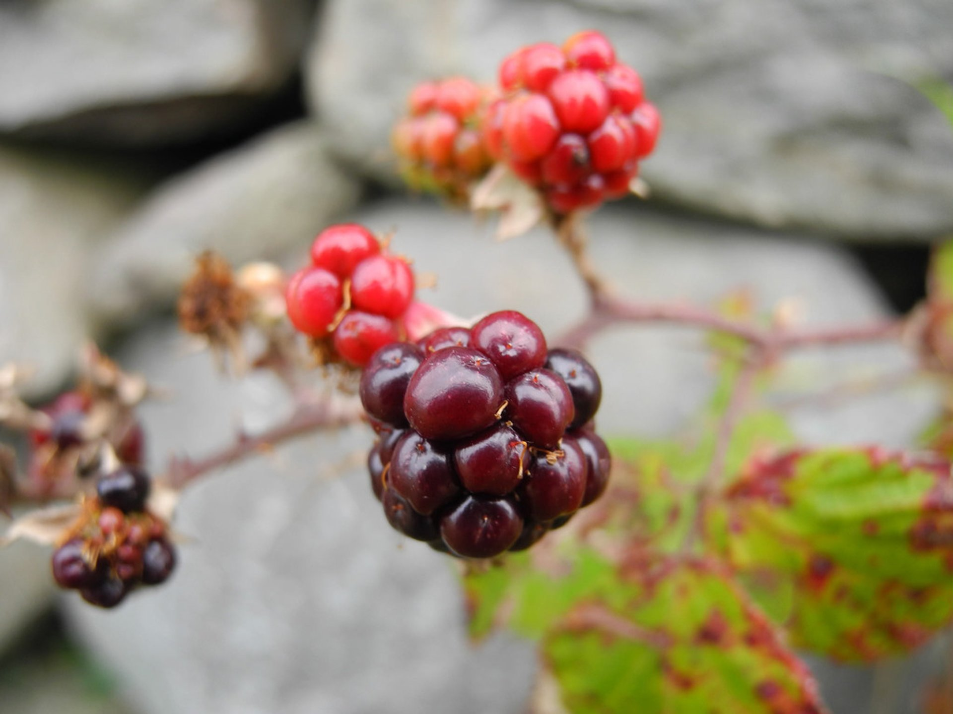 Berry Season in Wales - Best Season 2020
