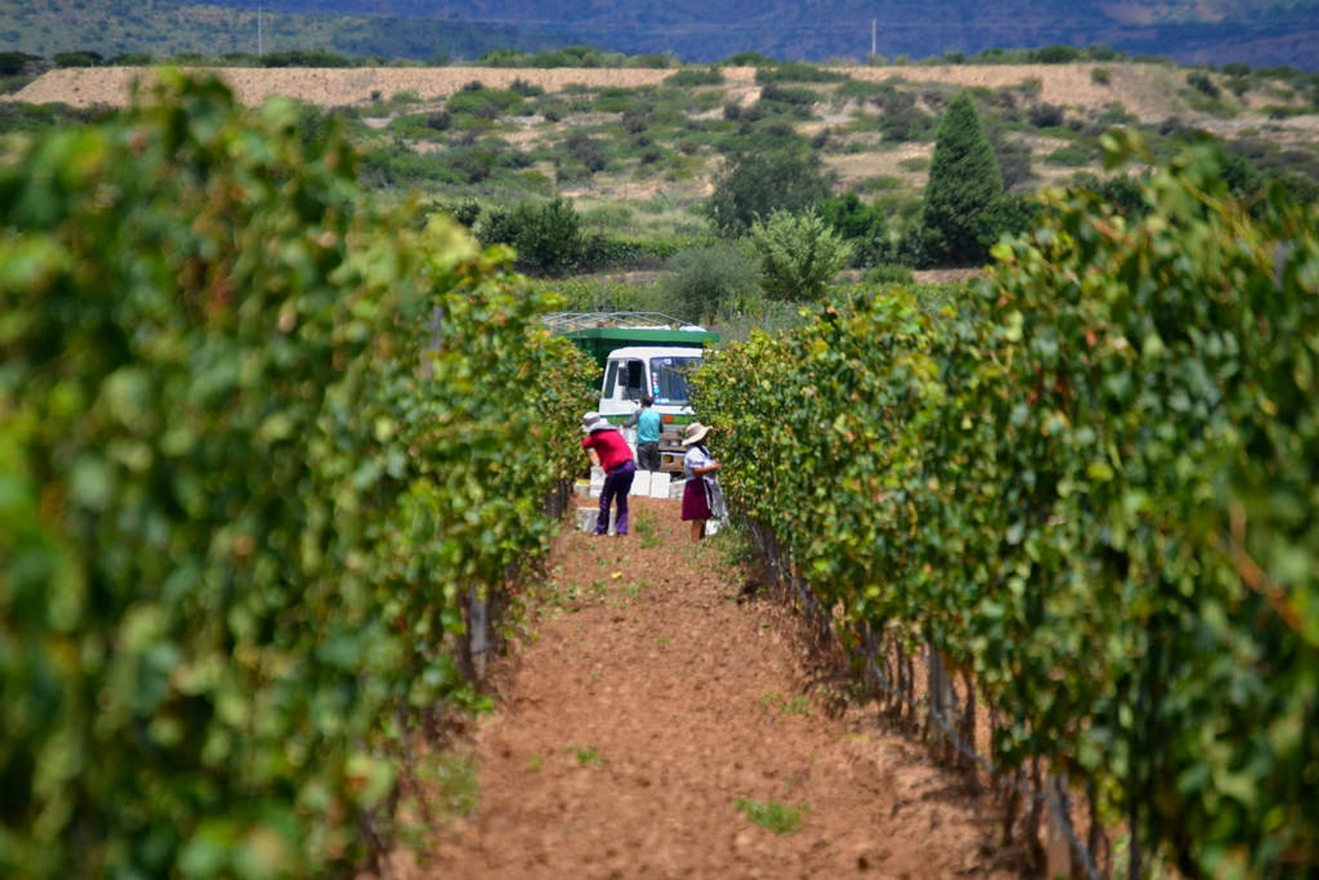 Grape Harvest in Bolivia - Best Season 2020