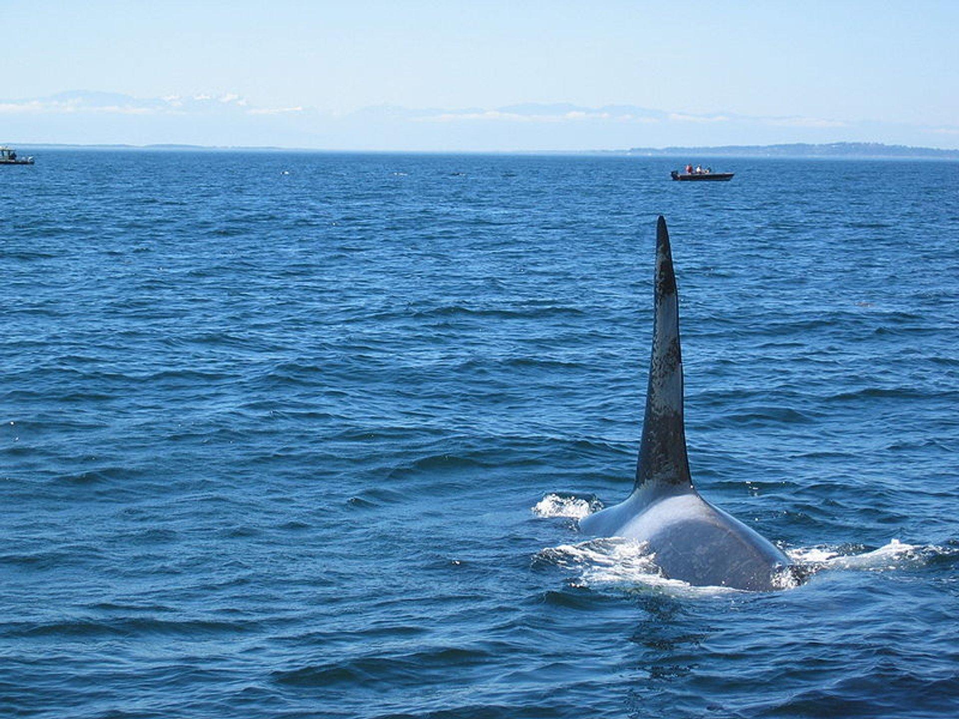Bull Killer Whale near Victoria 2020