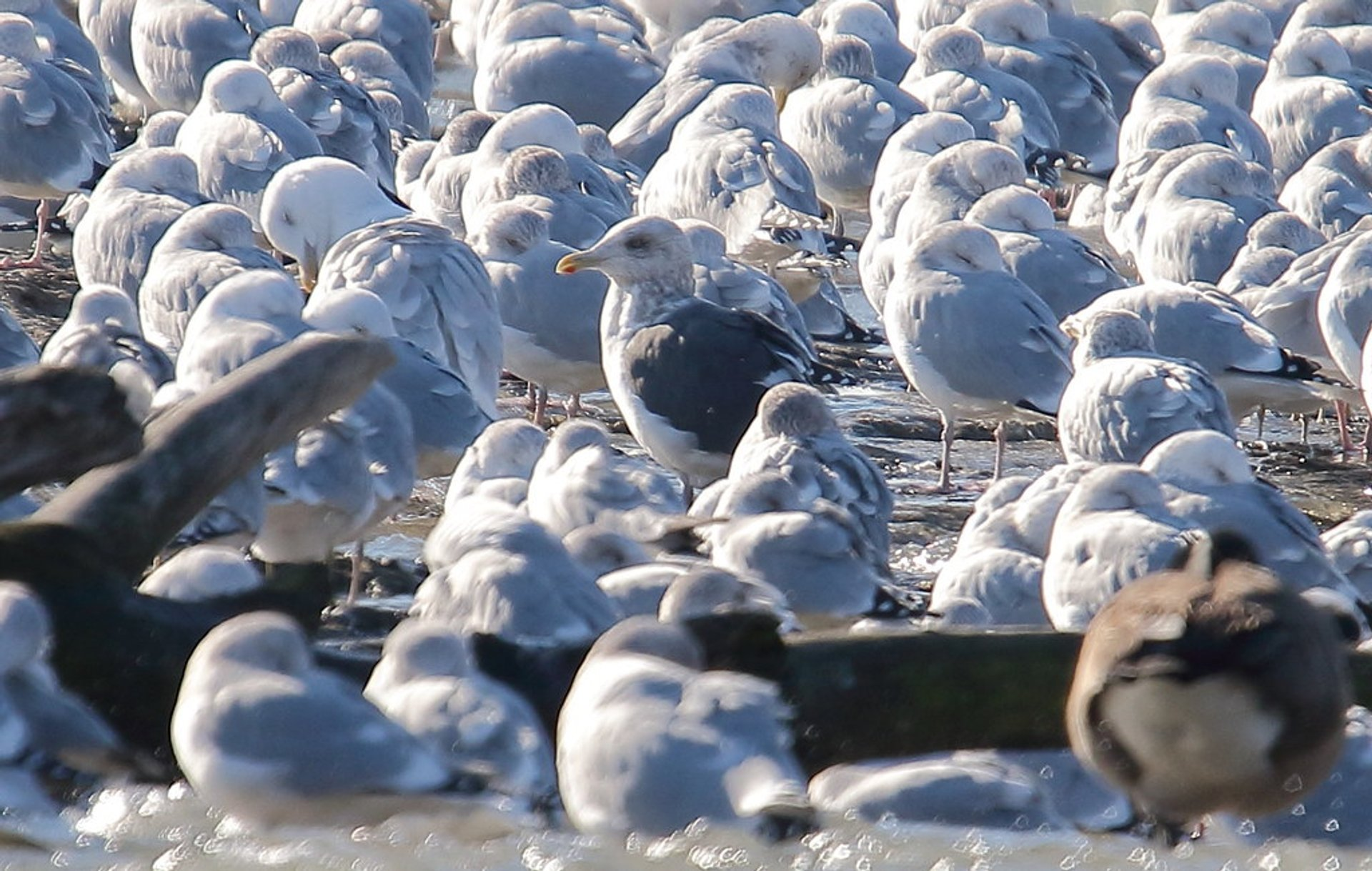 Slaty-backed Gulls (Larus schistisagus) at the Niagara River in January 2020