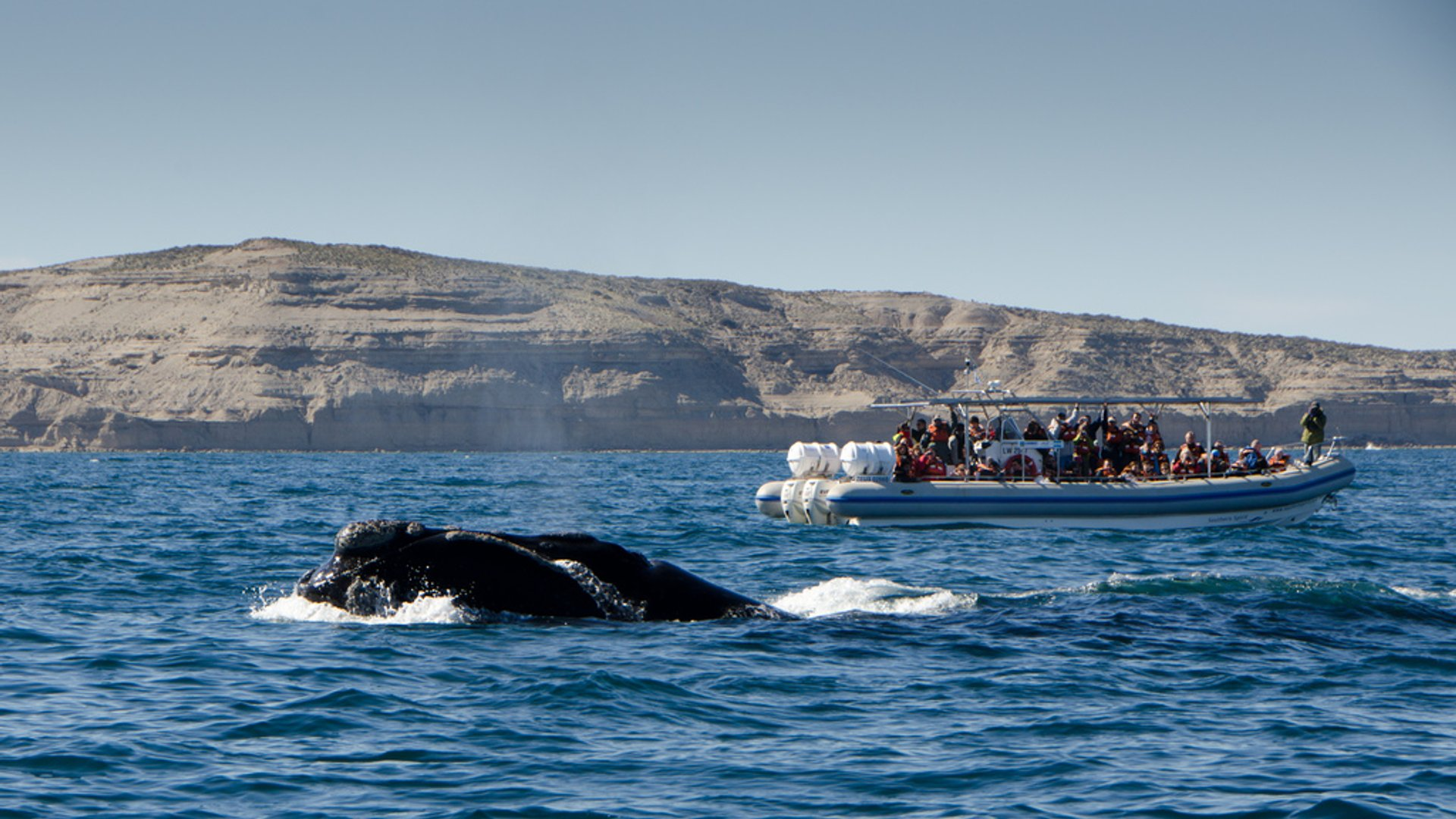 Southern Right Whale Watching in Argentina 2020 - Best Time
