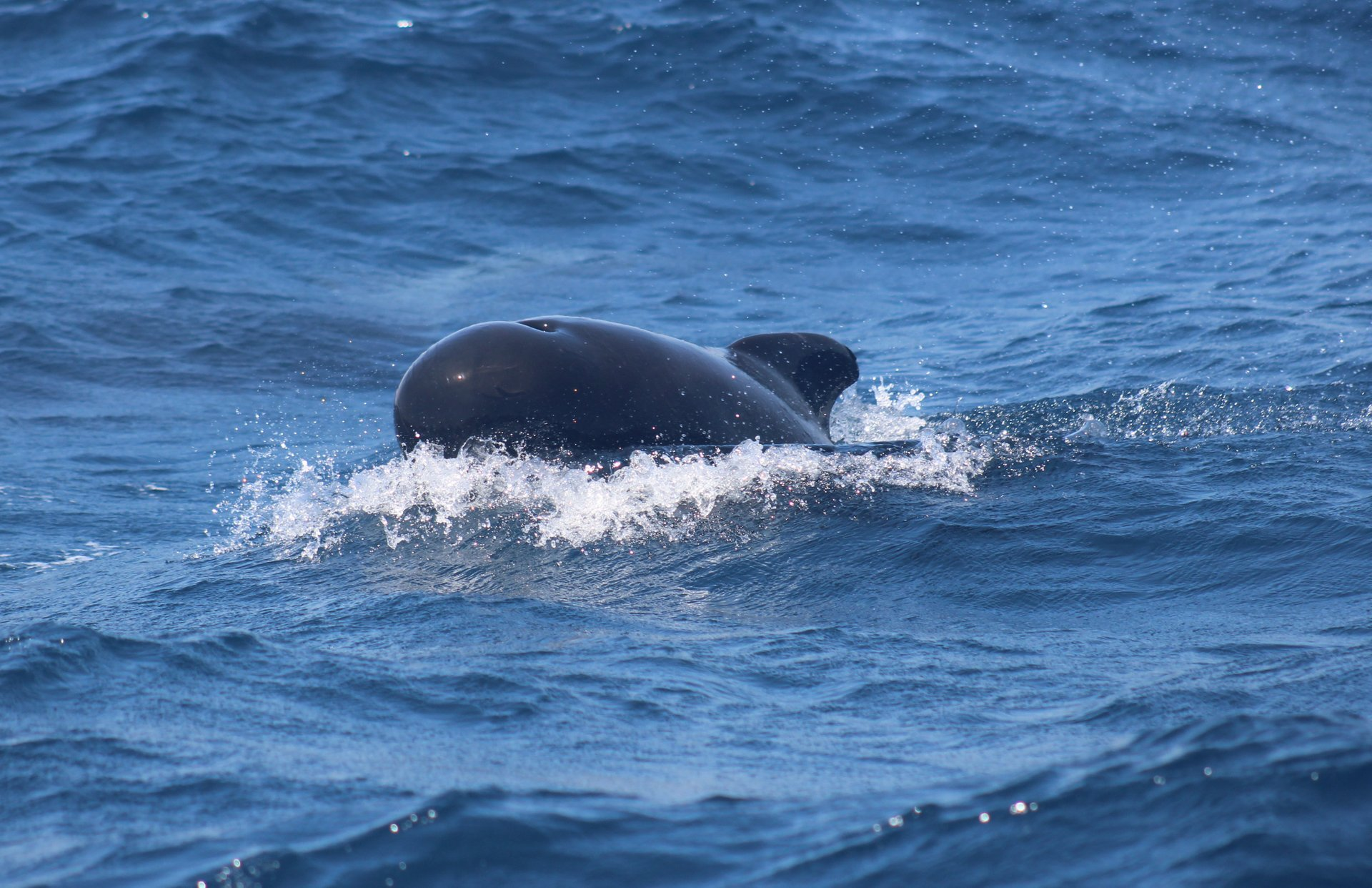Pilot whale in Strait of Gibraltar 2020