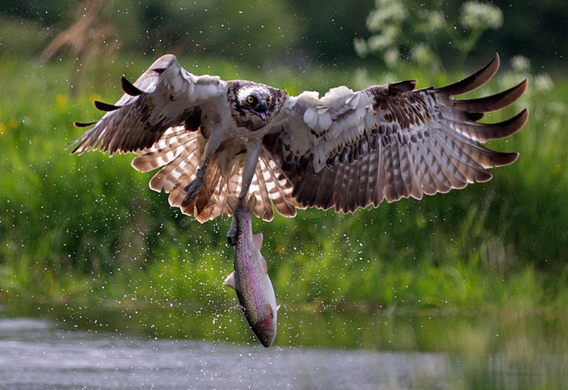 Osprey Watching in Scotland 2019 - Best Time