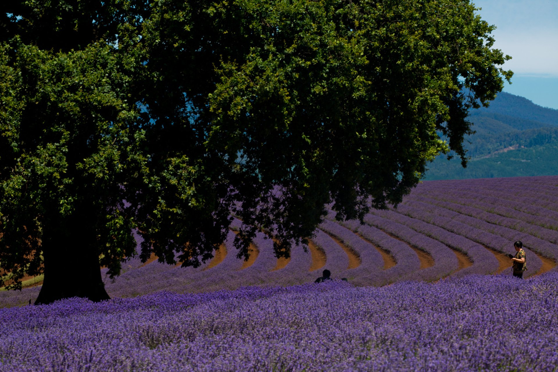 Bridestowe Lavender Farm in northeast Tasmania 2019