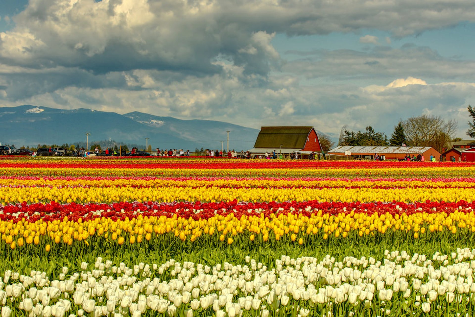 Skagit Valley Tulip Festival Near