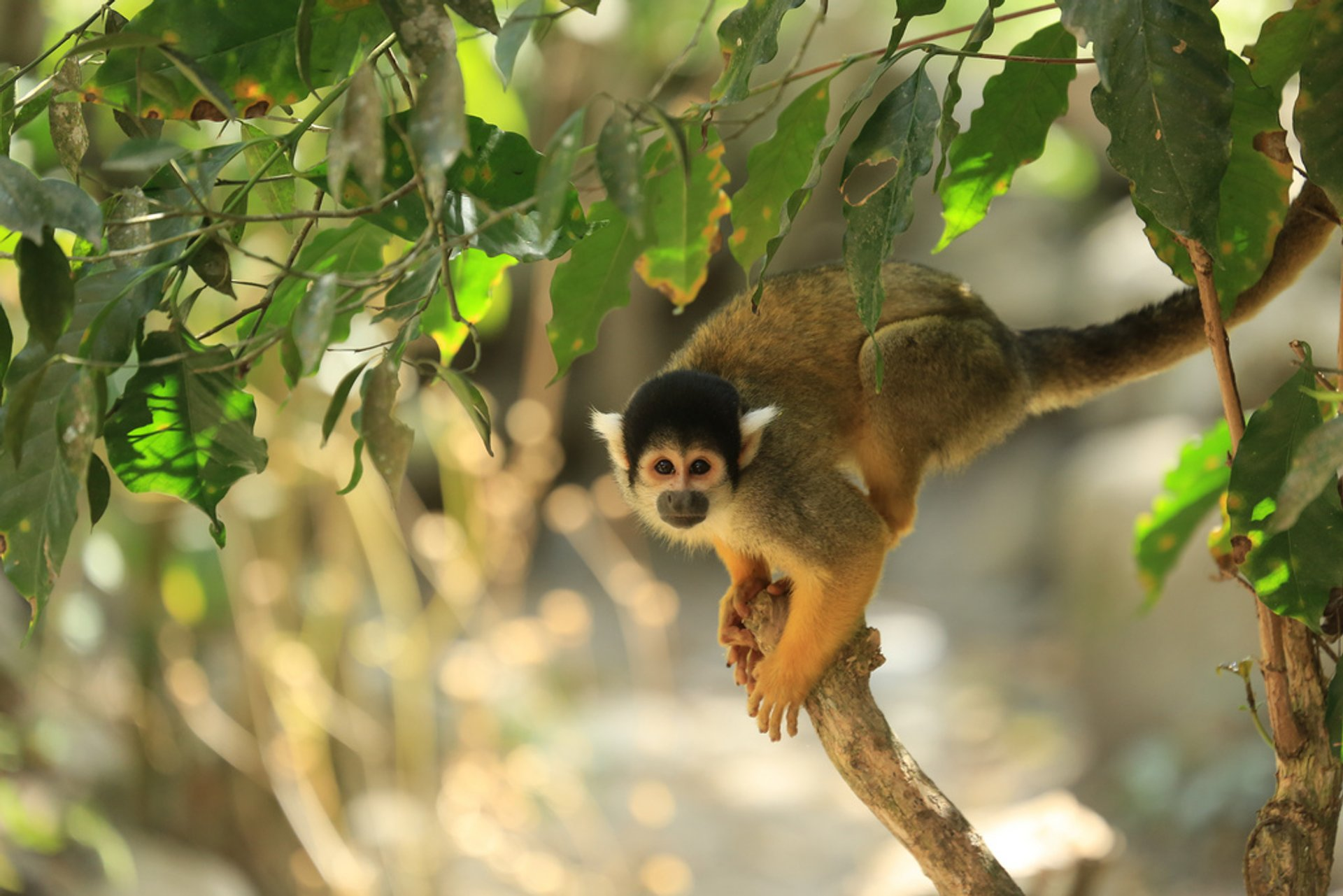 Best time for Squirrel Monkeys in Bolivia 2020