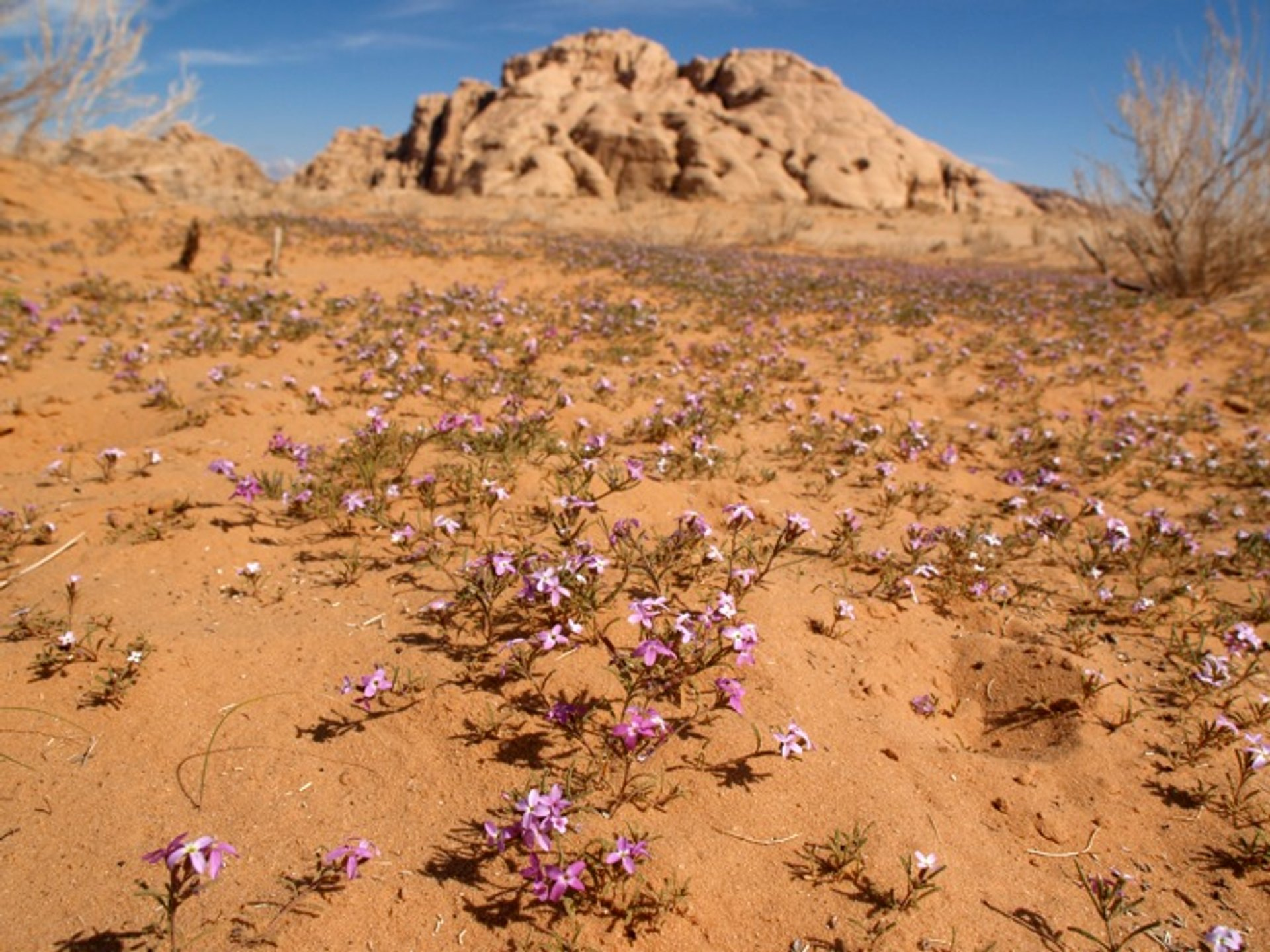 Wadi Rum Desert in Bloom in Jordan 2020 - Best Time