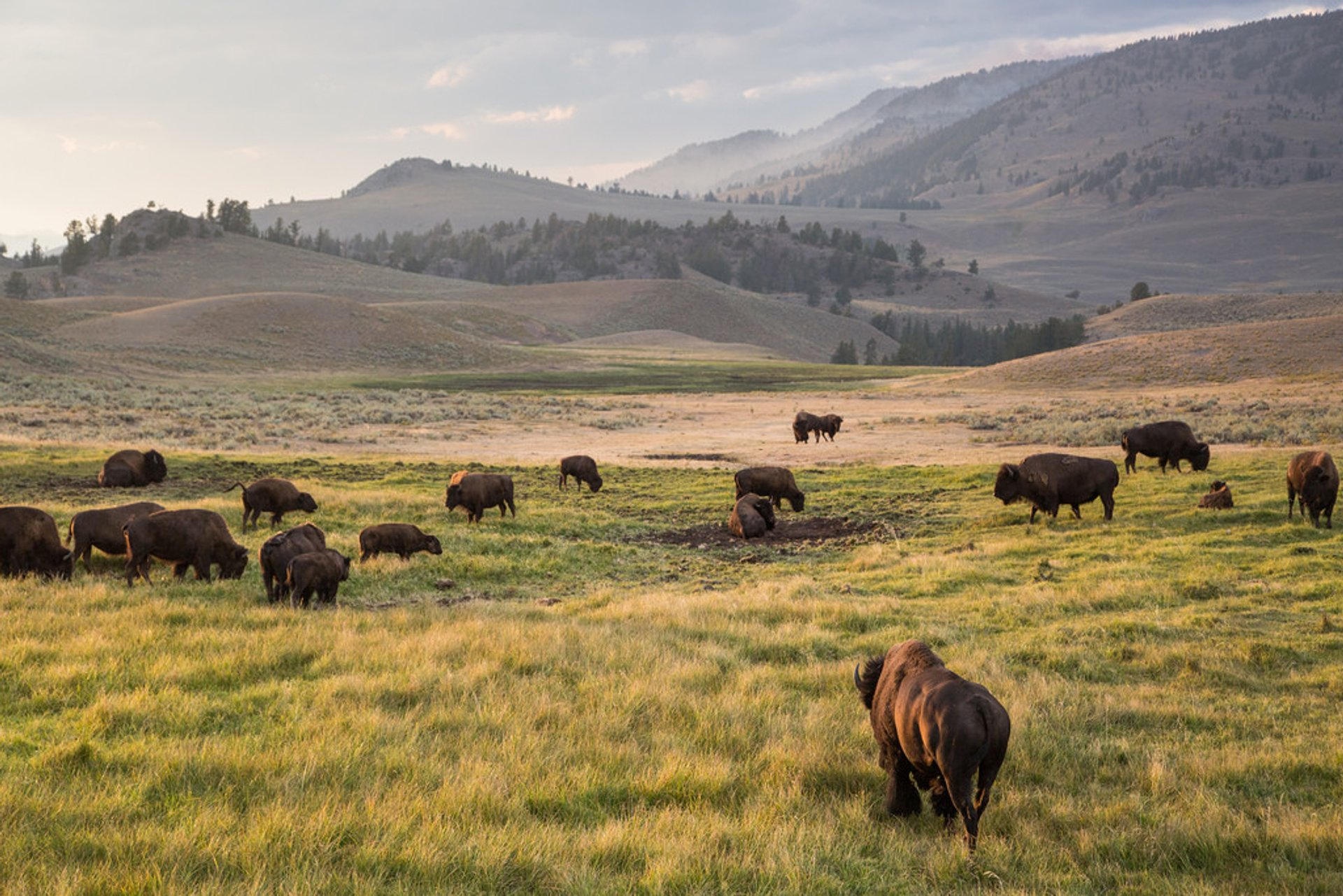 Bison Mating Season in Yellowstone National Park - Best Season 2020