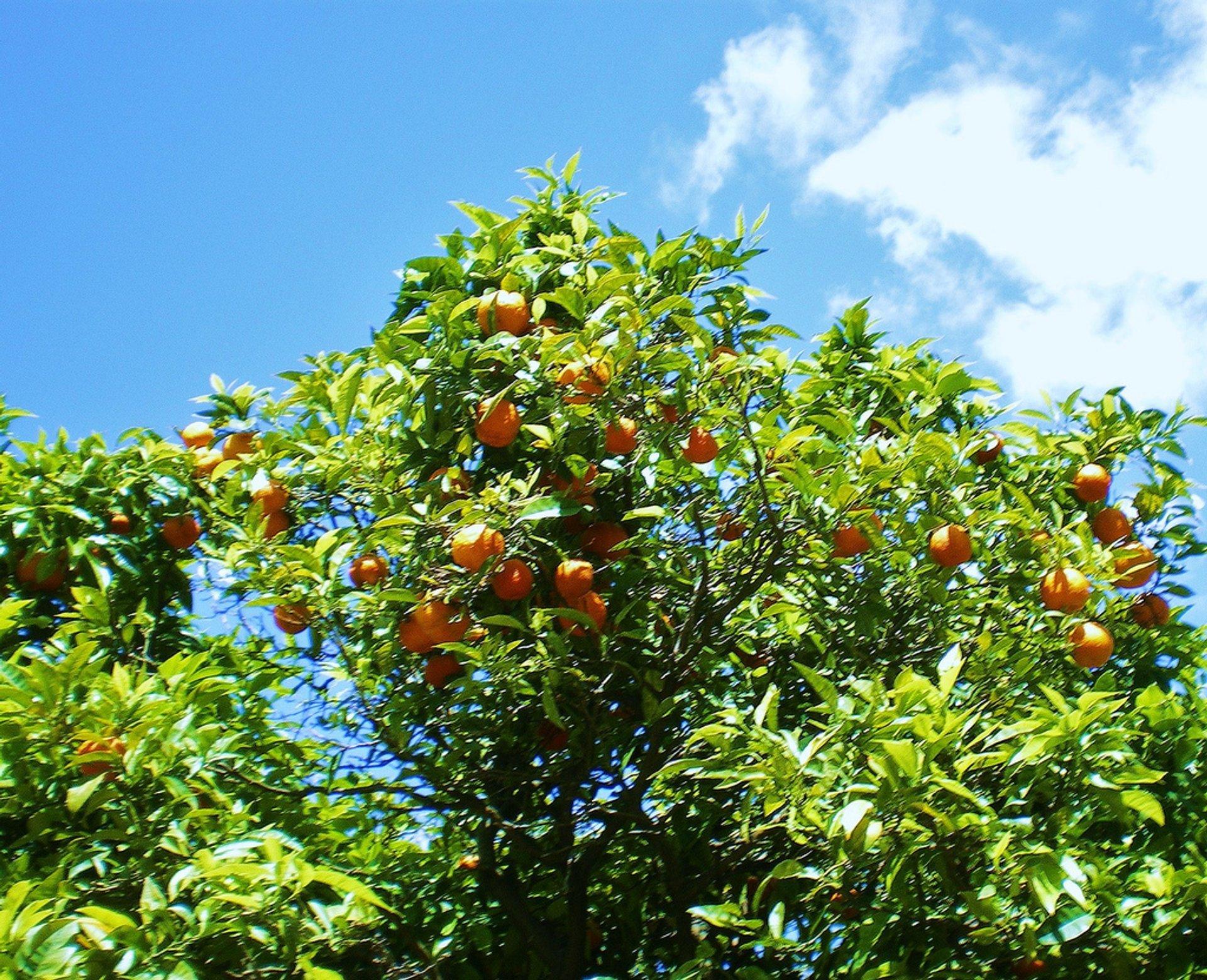 Orange Harvest in Portugal - Best Season 2020