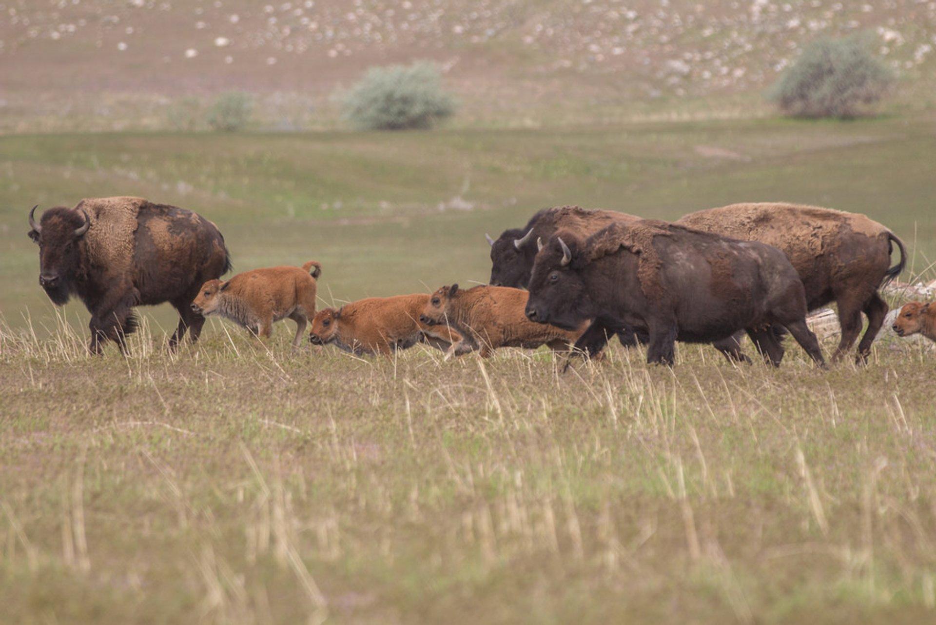 Bison Watching in Utah 2020 - Best Time