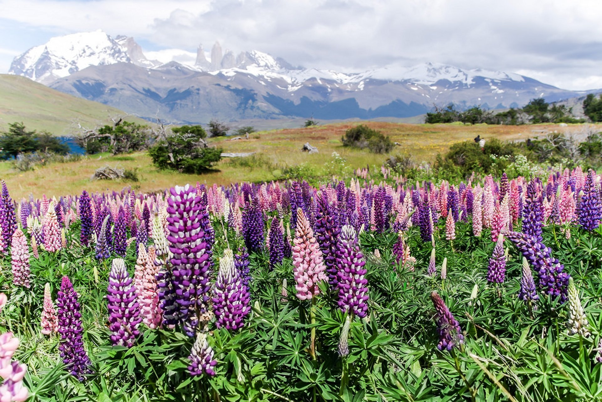 Lupin Blooming in Patagonia - Best Time