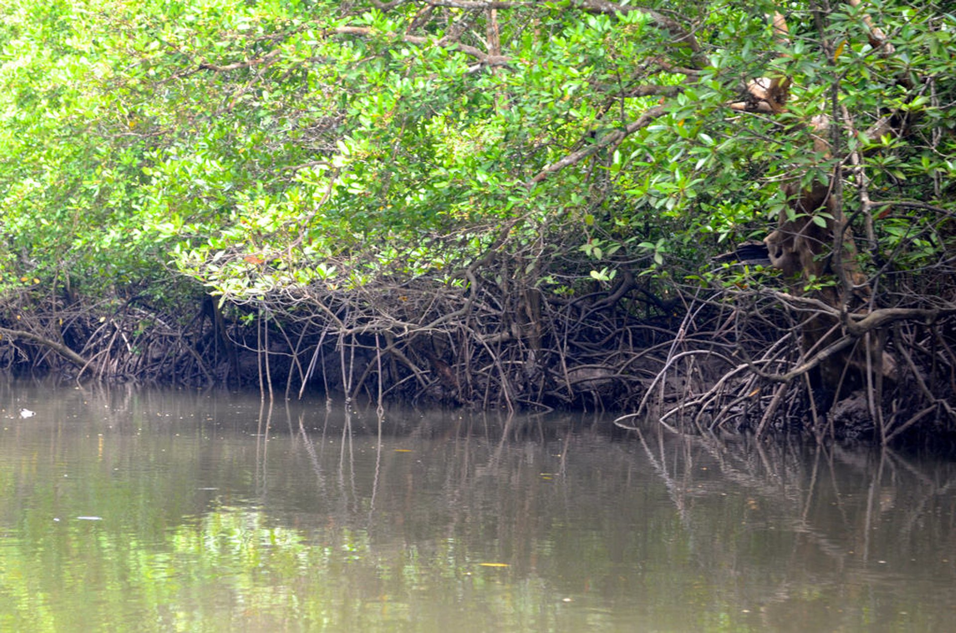 Mangroves of Langkawi 2019