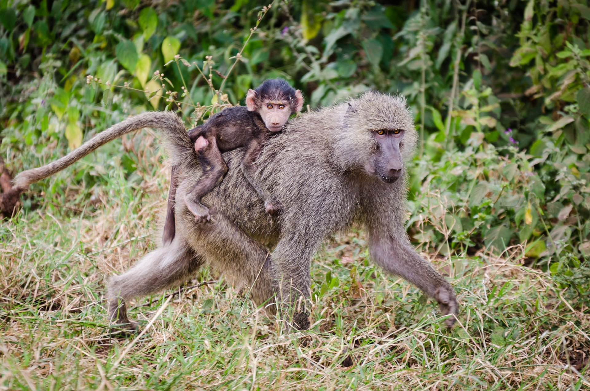Baboon Troops in Tanzania 2019 - Best Time