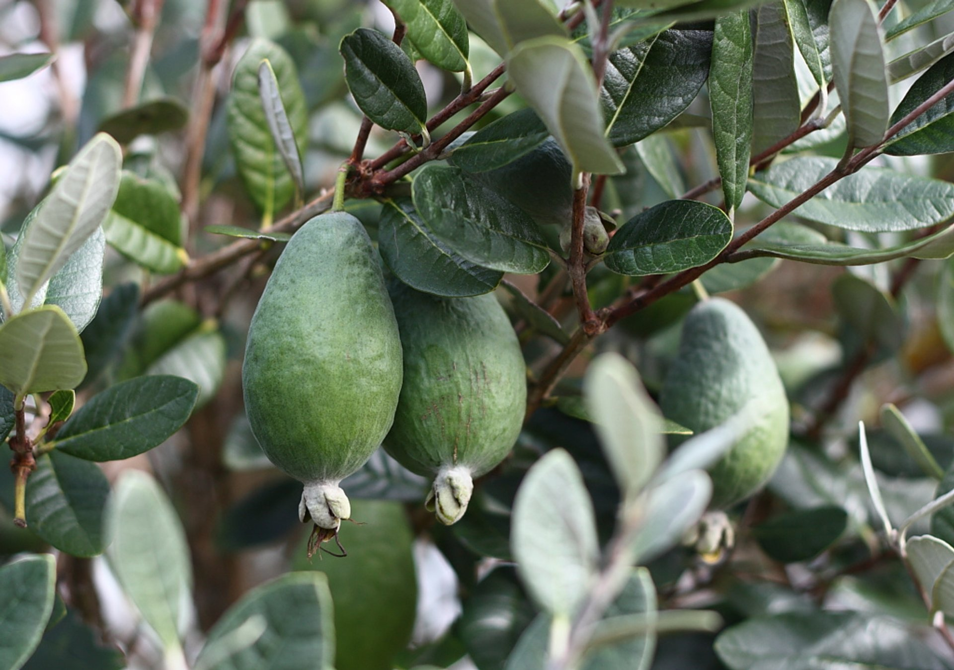 Feijoa in New Zealand 2020 - Best Time