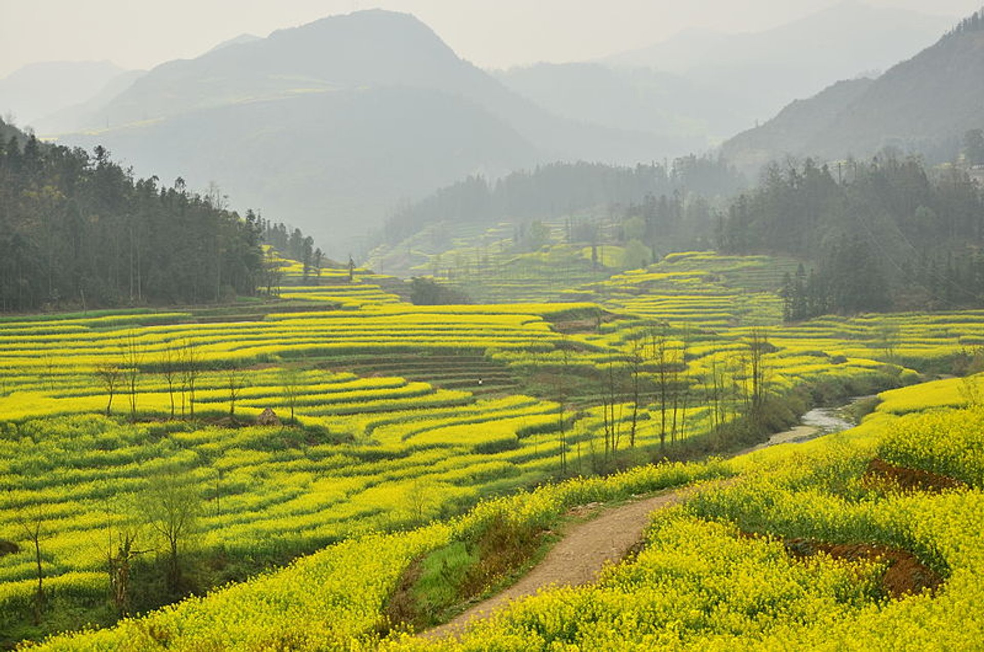 Canola Fields in Luoping in China - Best Season 2020
