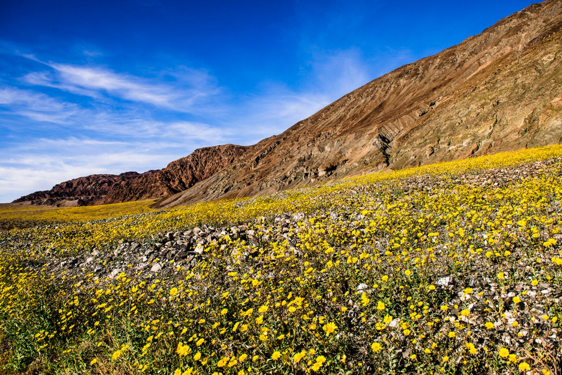 Death Valley Super Bloom in Death Valley - Best Time