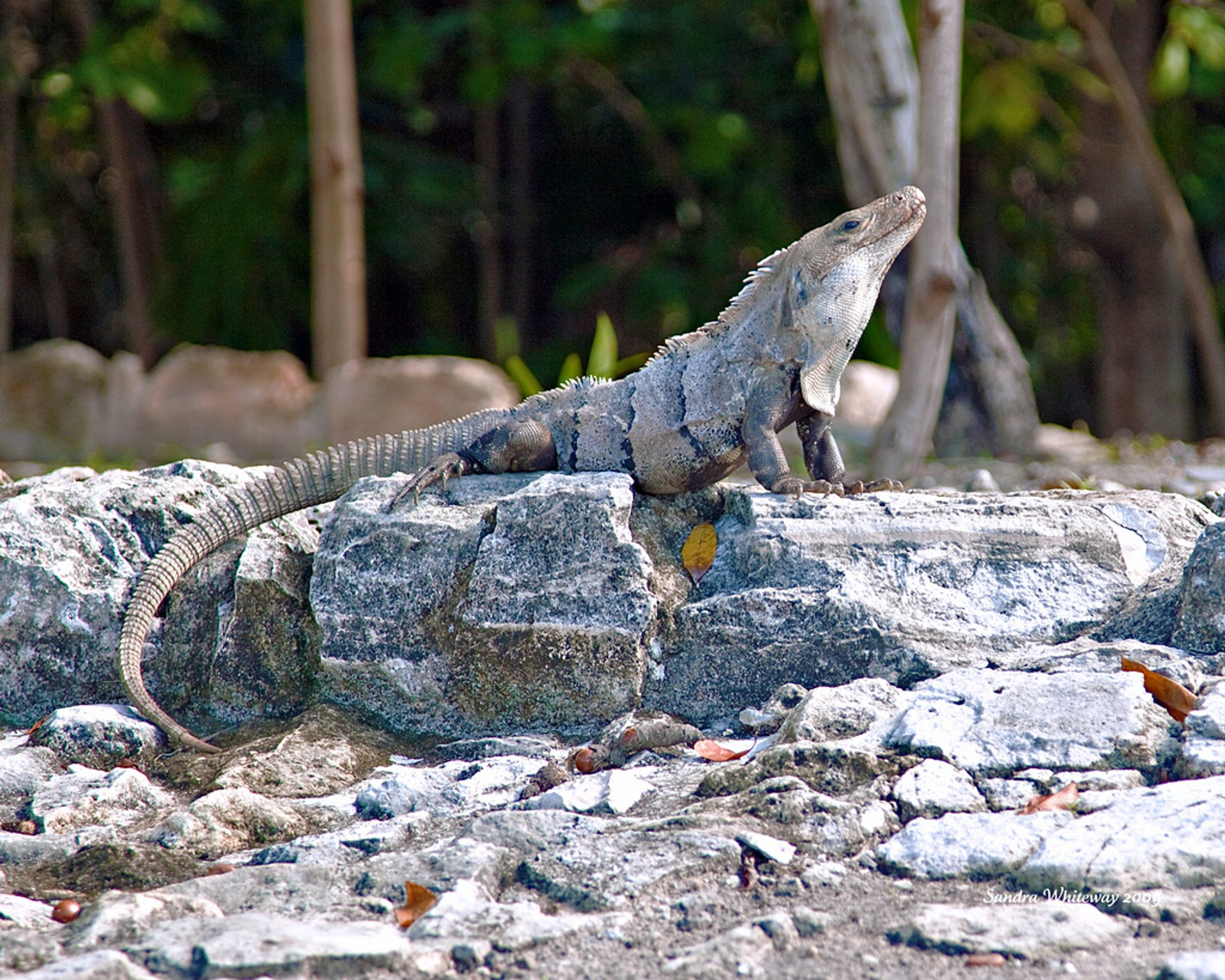 Iguanas at El Rey Ruins in Cancun 2020 - Best Time