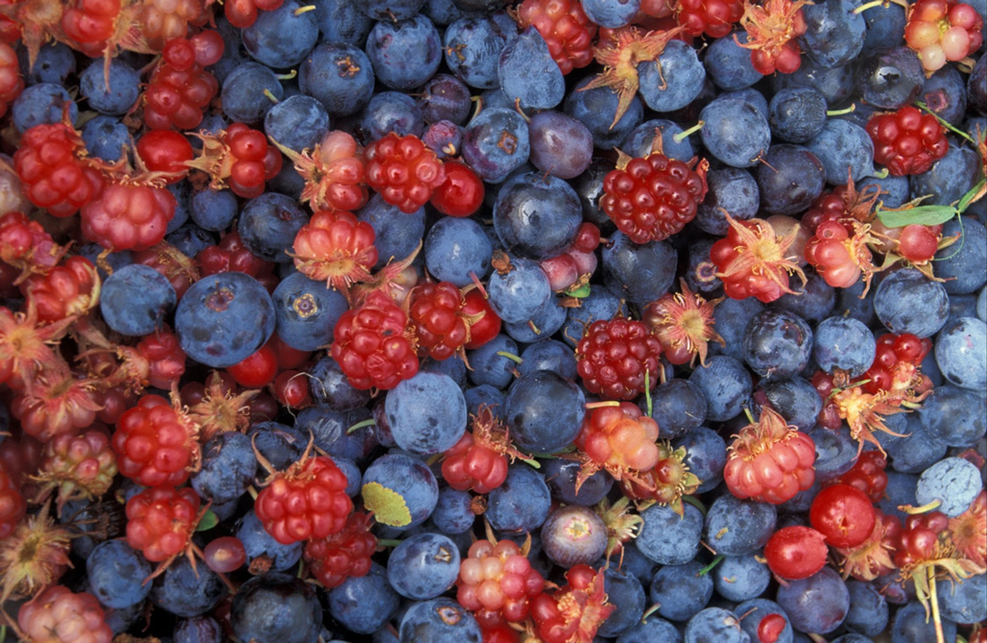 Wild Berry Season in Alaska - Best Time