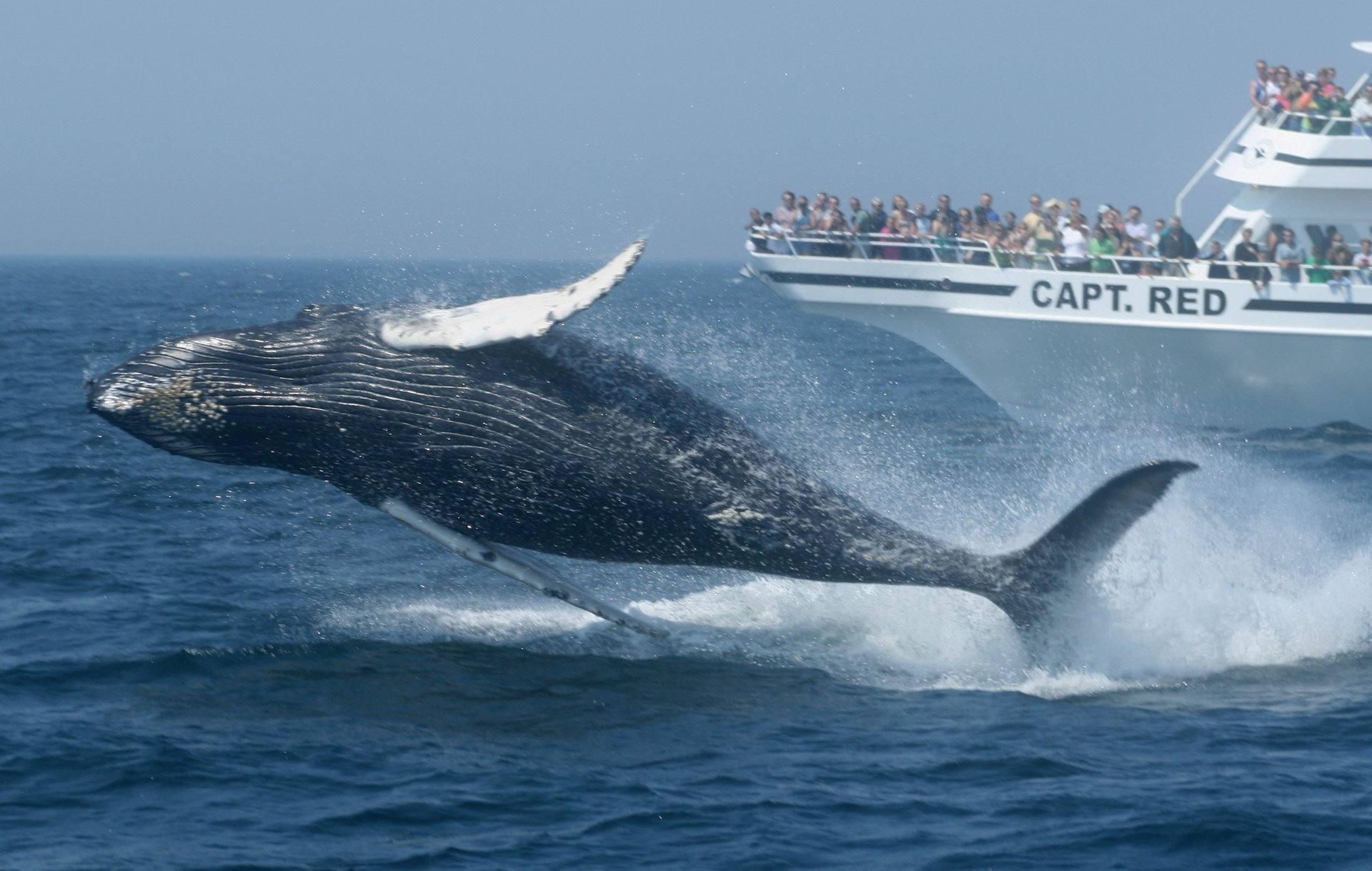 Whale Watching in Massachusetts 2019 - Best Time