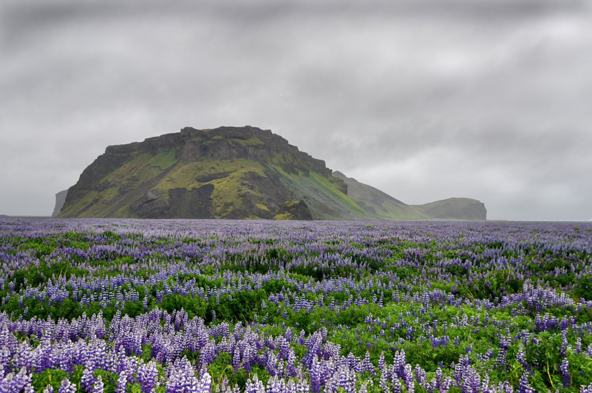 """I've never seen so many lupins in my life, they covered the ground everywhere over Iceland, carpets of purple as far as the eye could see"" 2020"