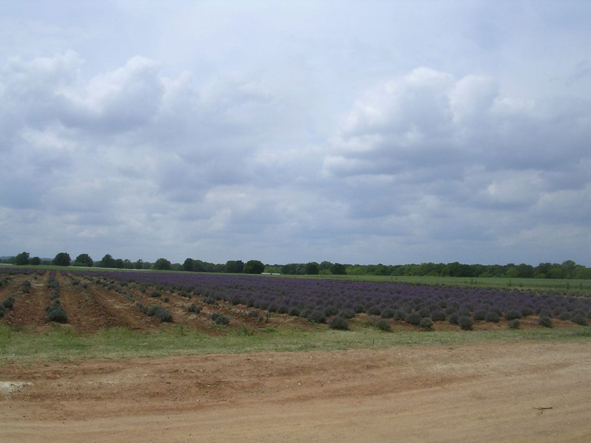 Becker Vineyards Lavender Fields 2020