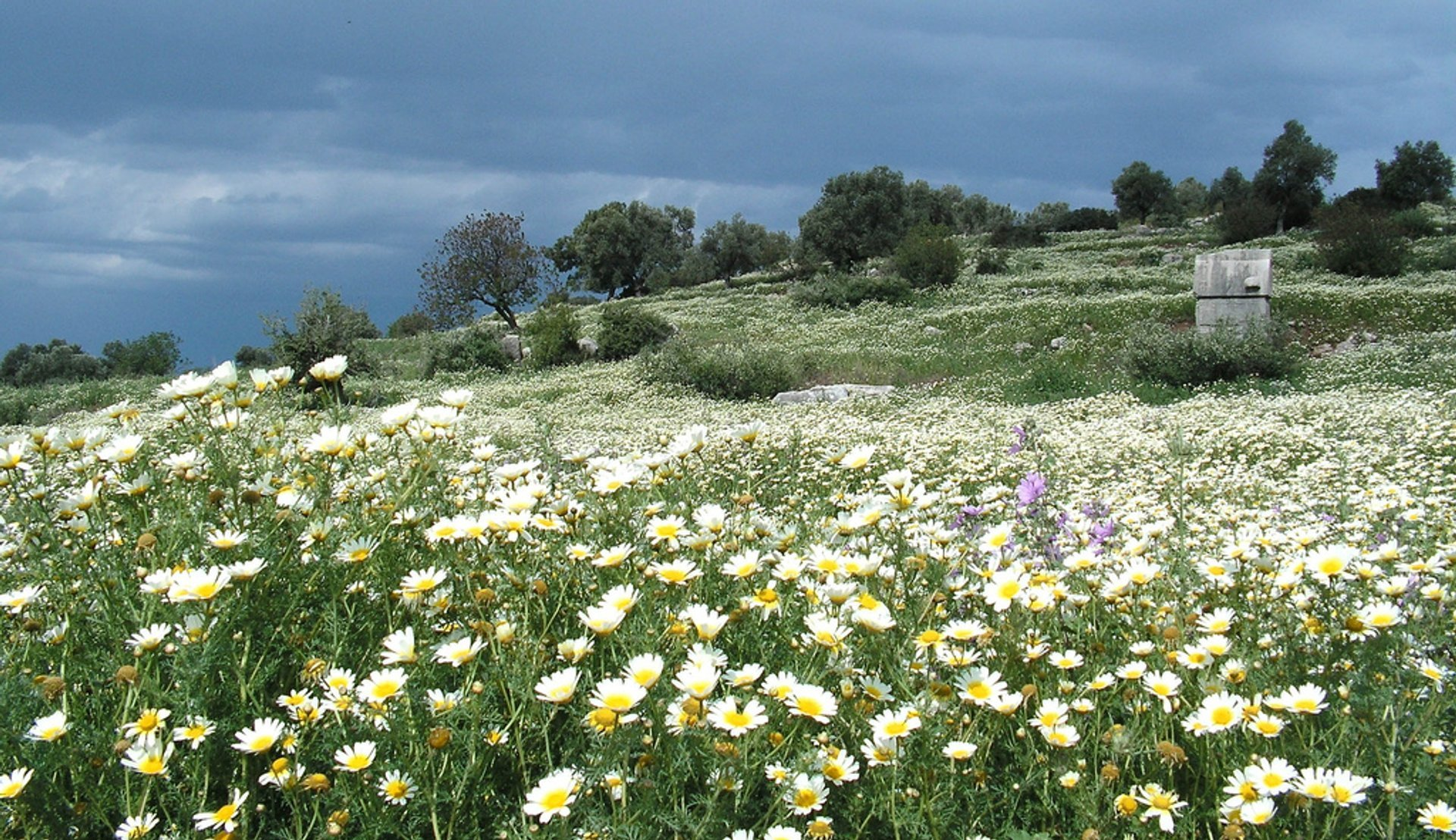 Daisy field in Patara, Kas District, Turkey 2020