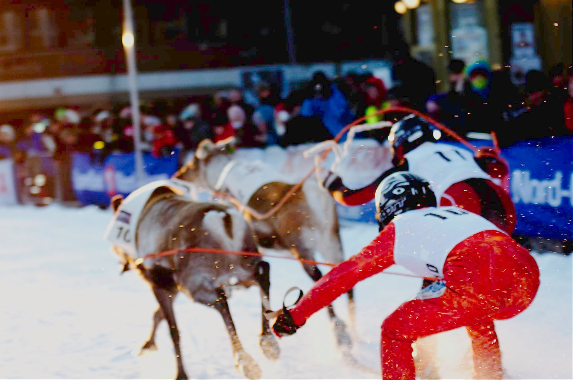 Reindeer racing in Tromsø 2020