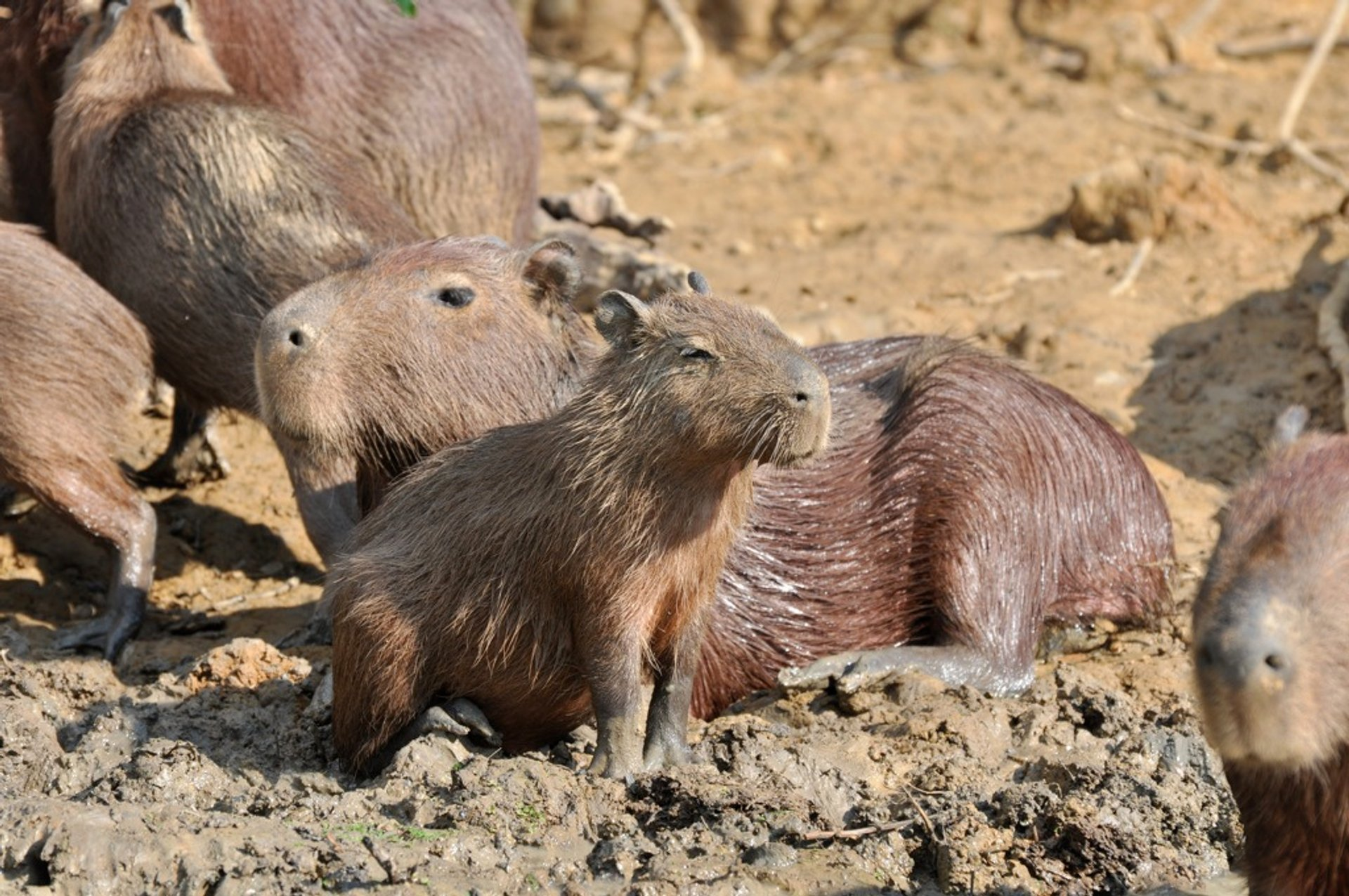 Capybara in Bolivia - Best Season 2020