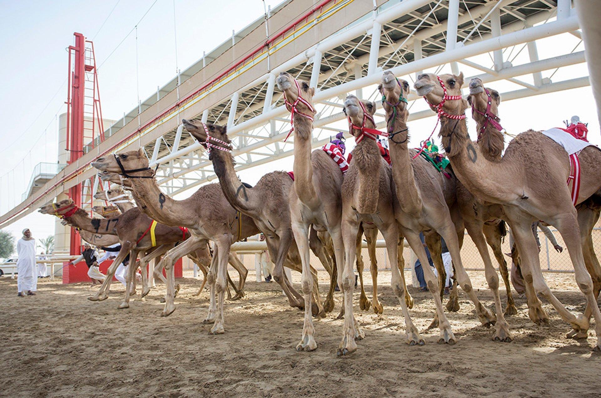 Camel Racing Season in Dubai - Best Season 2019