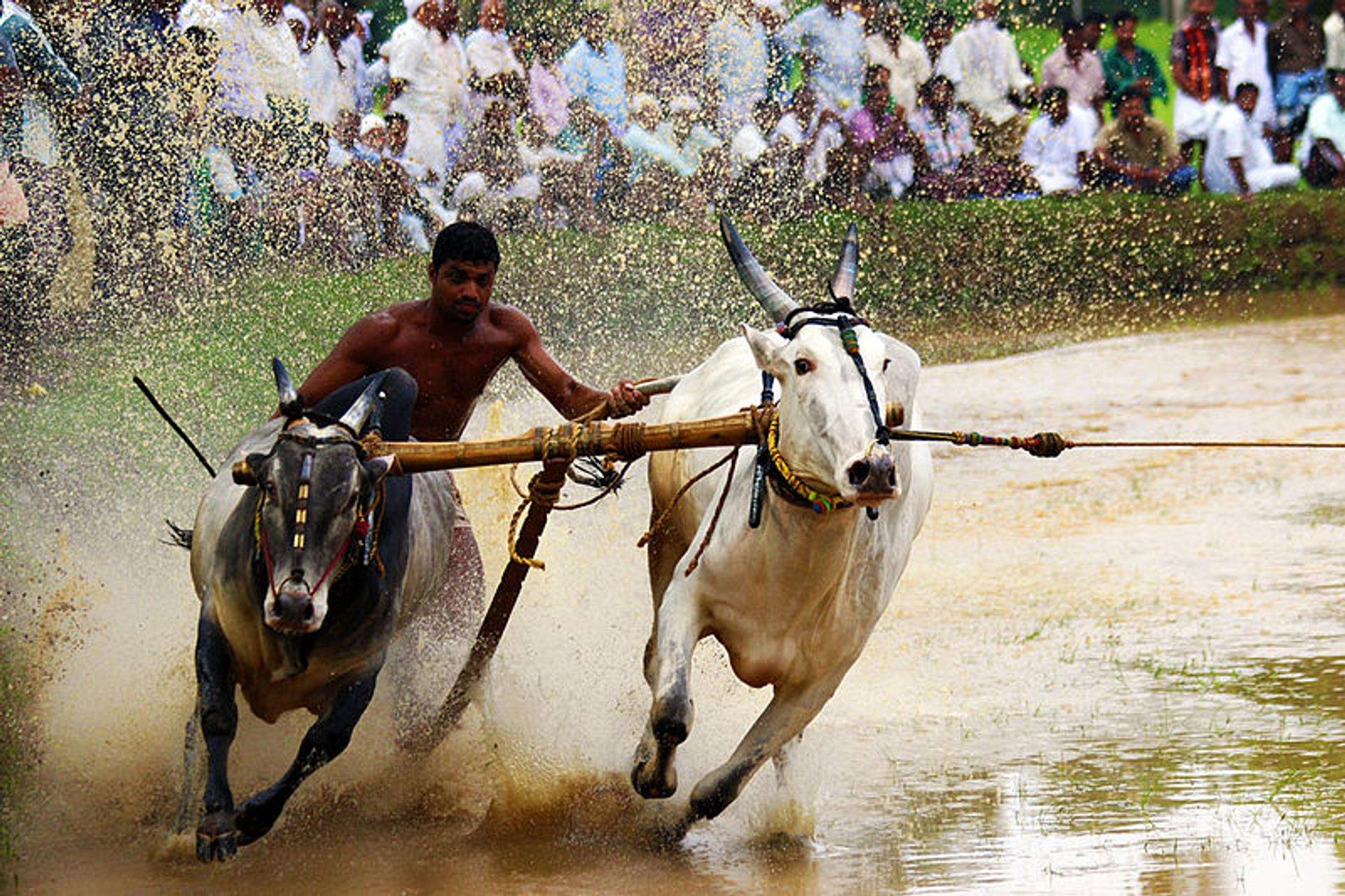 Bull Surfing in Kerala - Best Season