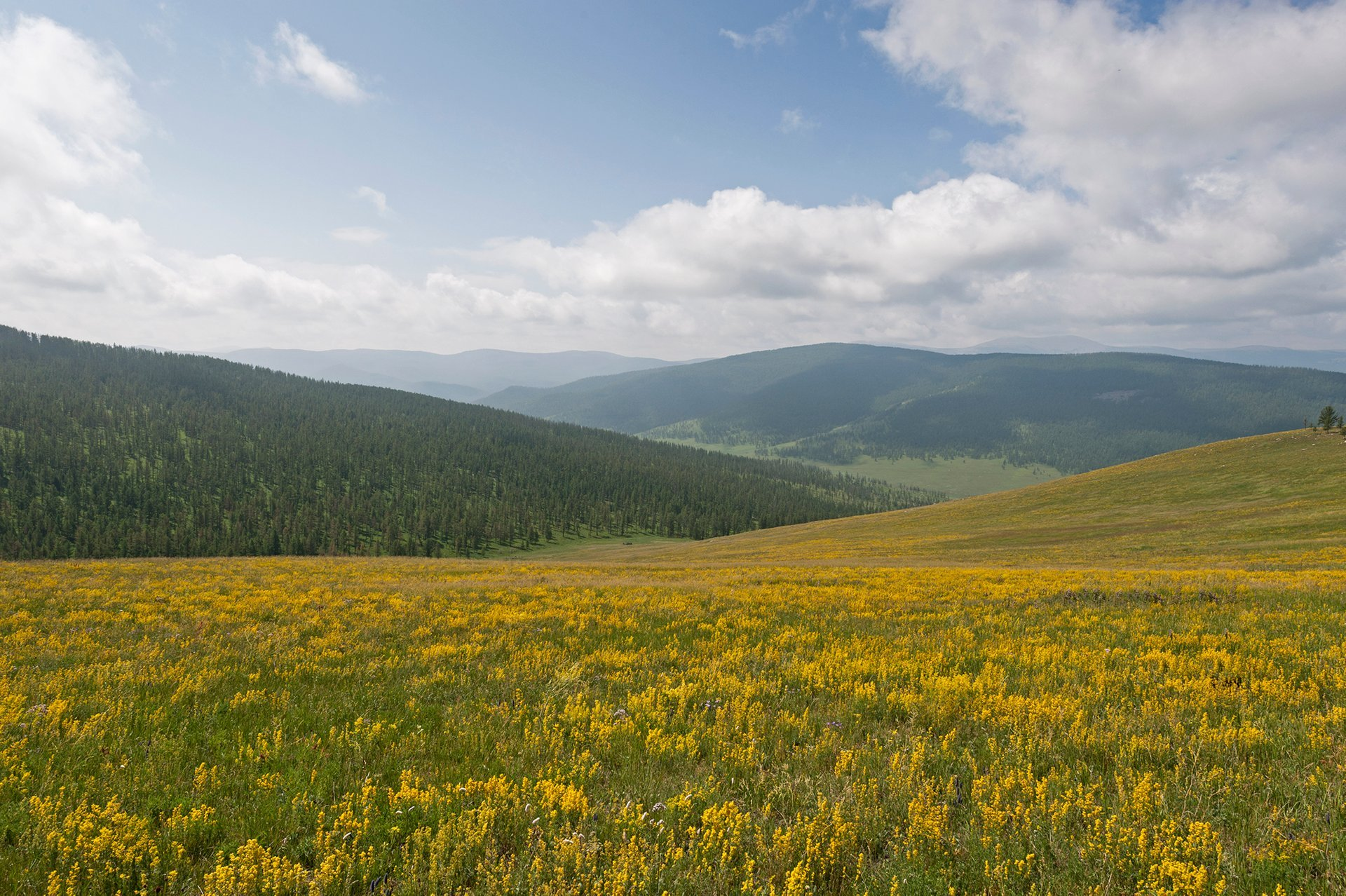 Wildflowers of Steppes in Mongolia - Best Season 2020
