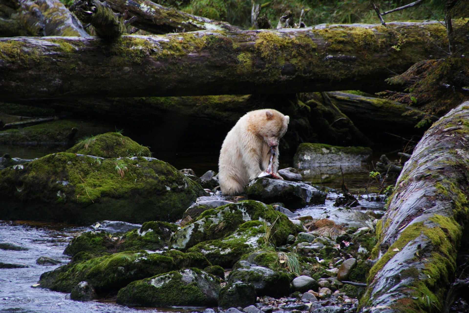 Spirit Bears in British Columbia - Best Season