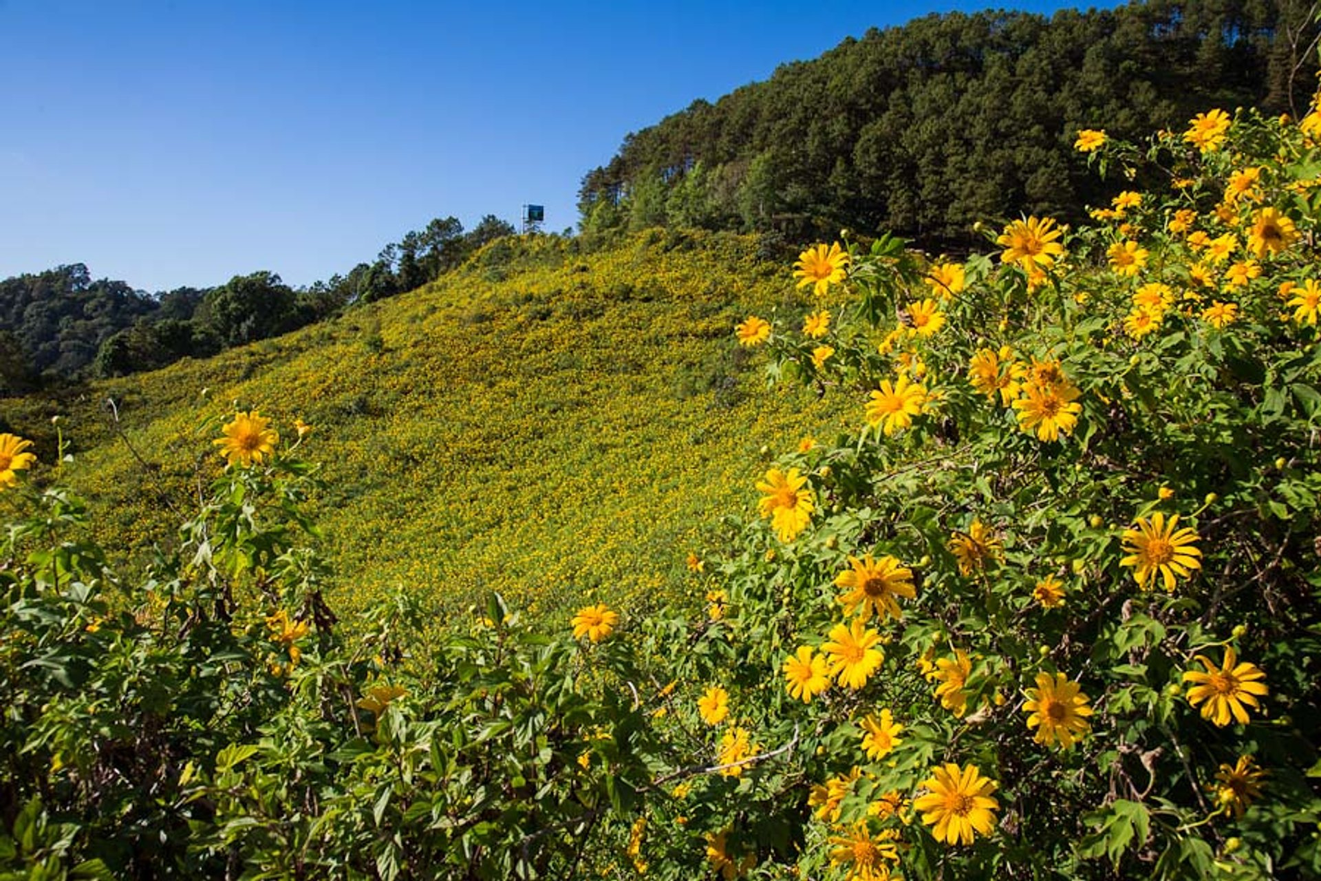 Mexican Sunflowers Bloom in Thailand - Best Season 2020